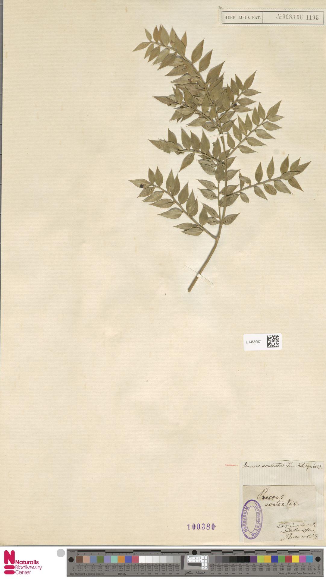 L.1456957 | Ruscus aculeatus L.