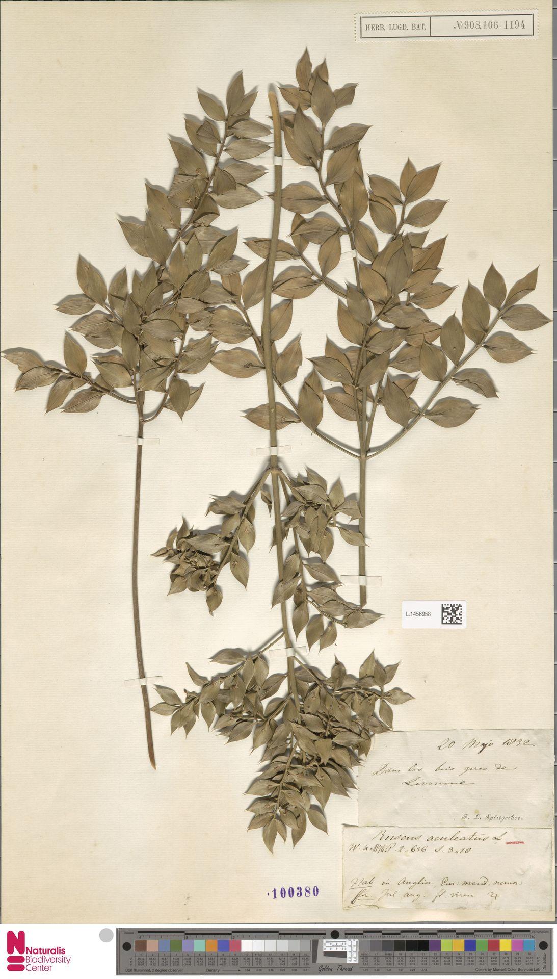 L.1456958   Ruscus aculeatus L.