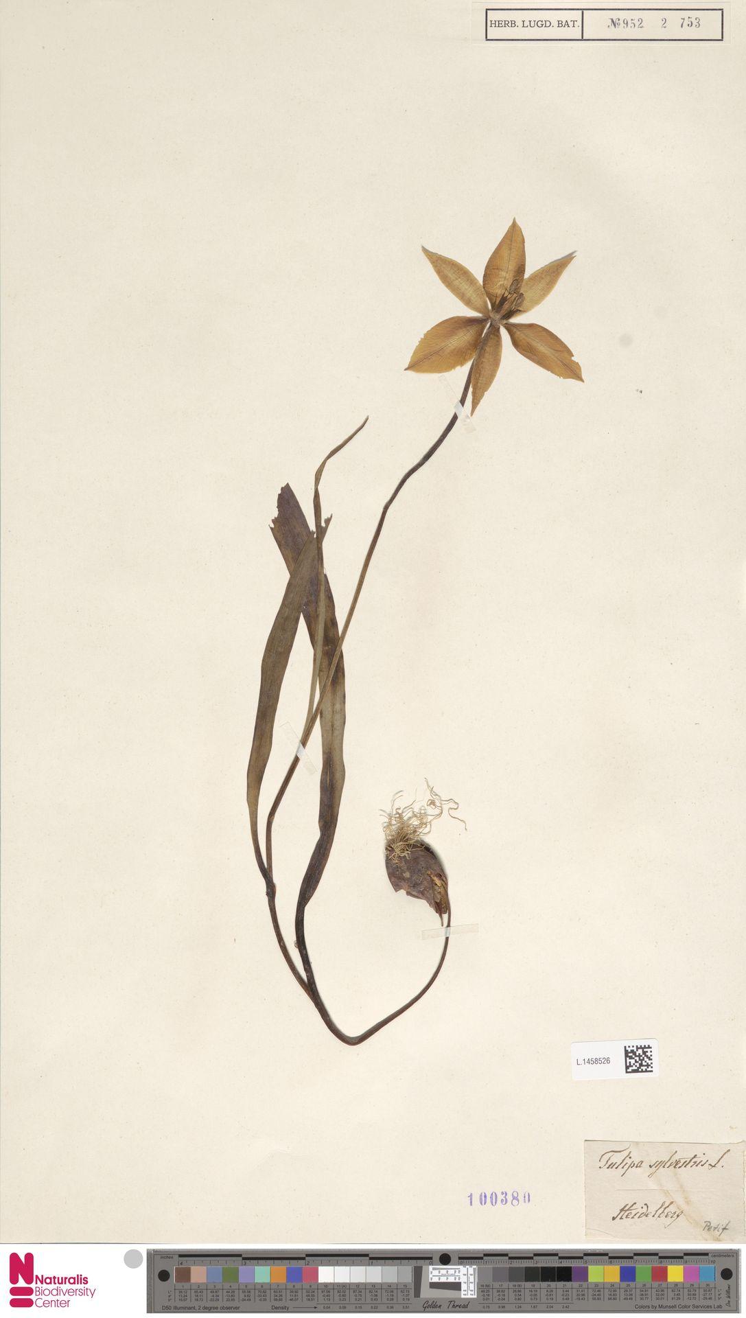 L.1458526 | Tulipa sylvestris L.