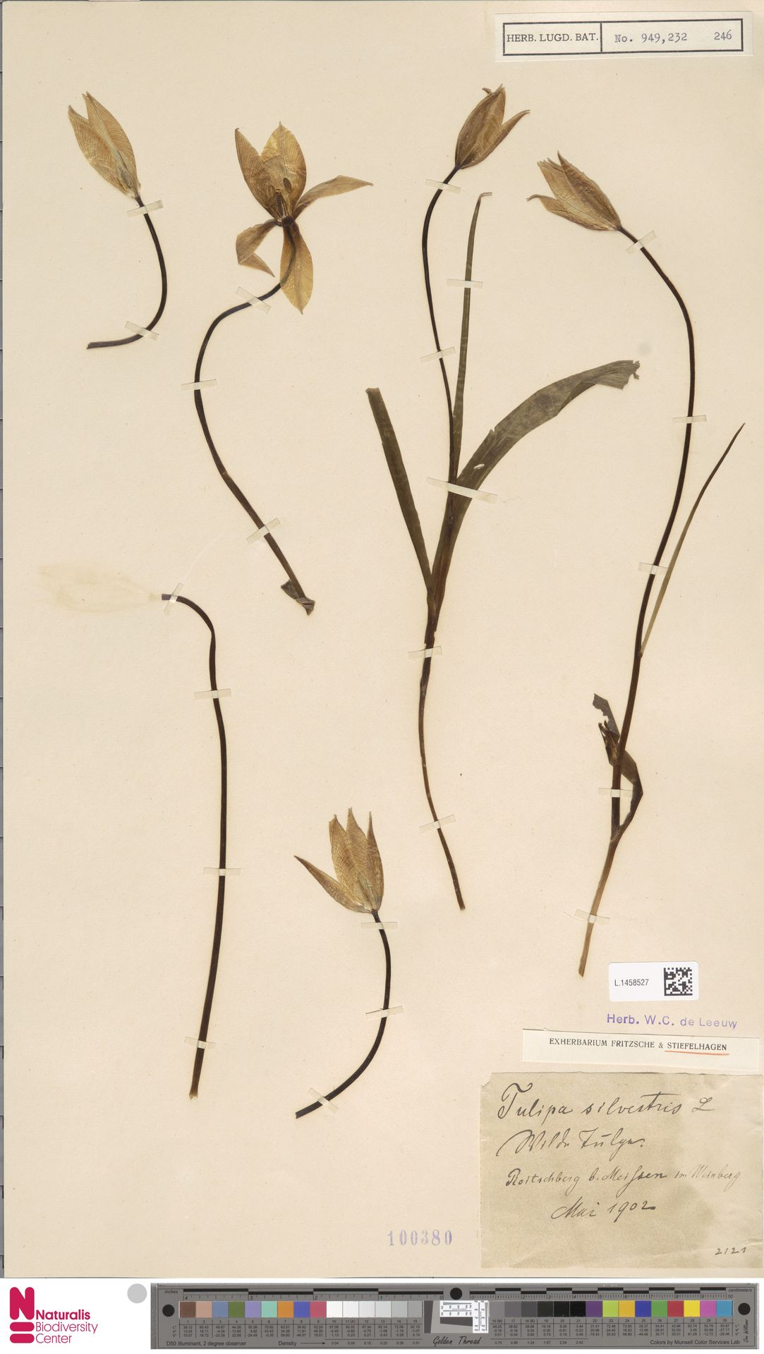 L.1458527 | Tulipa sylvestris L.