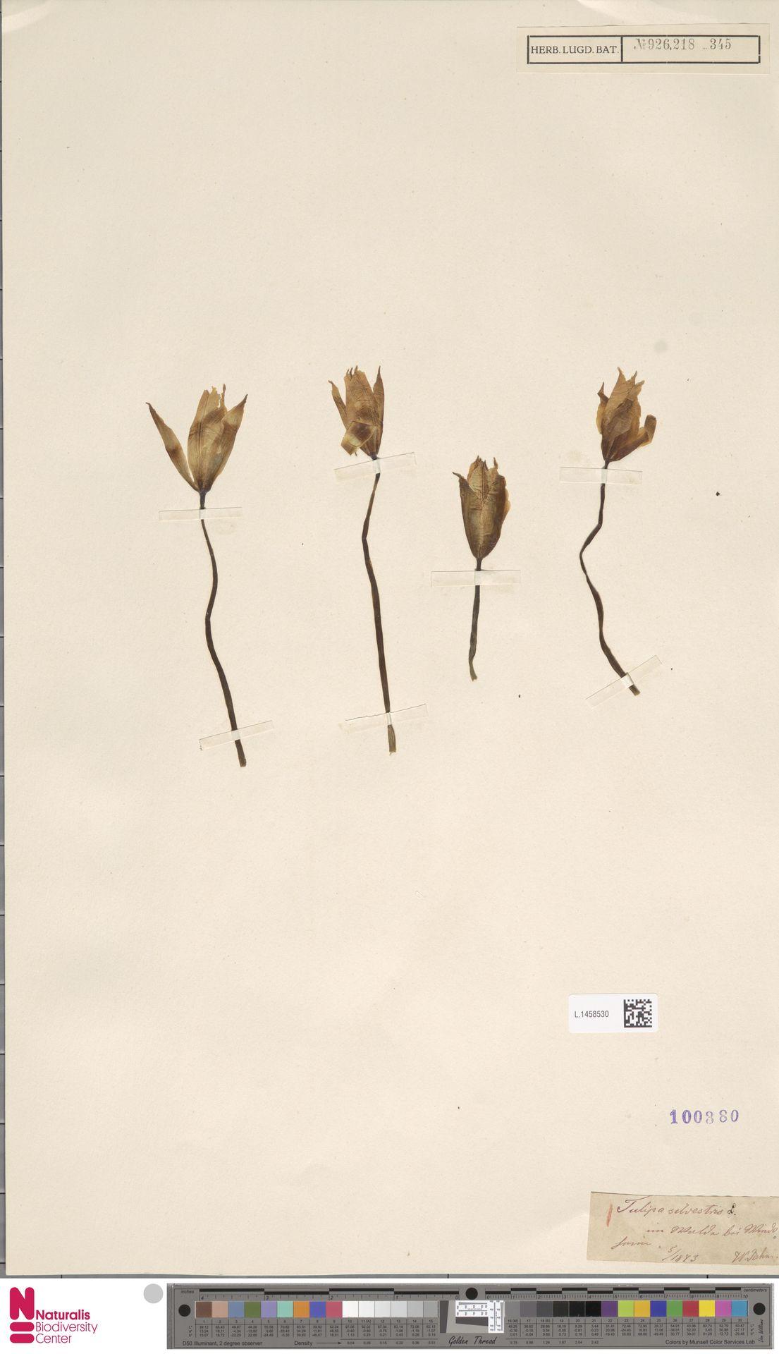 L.1458530 | Tulipa sylvestris L.