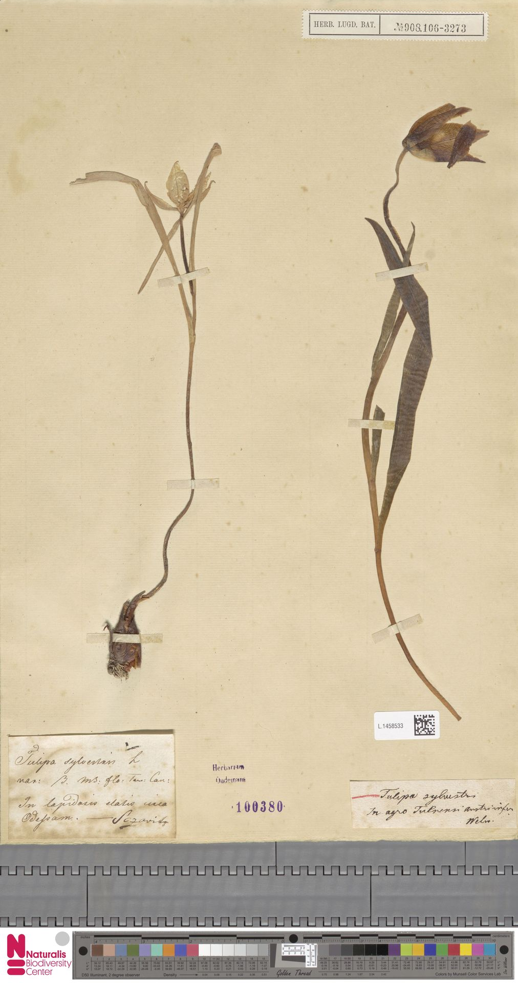 L.1458533 | Tulipa sylvestris L.