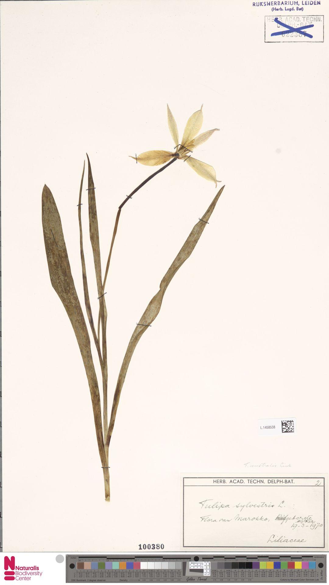 L.1458538   Tulipa sylvestris L.