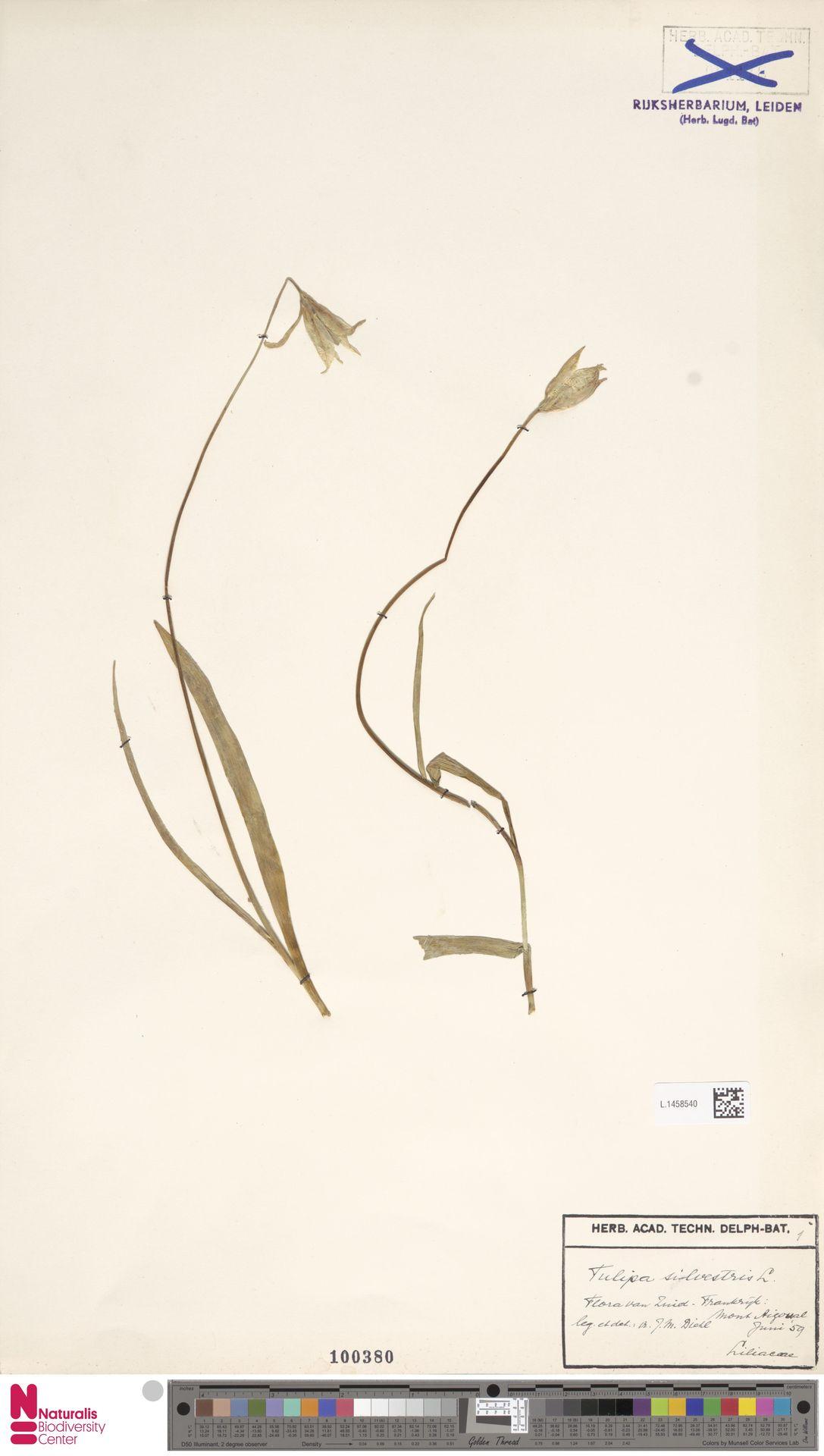L.1458540 | Tulipa sylvestris L.