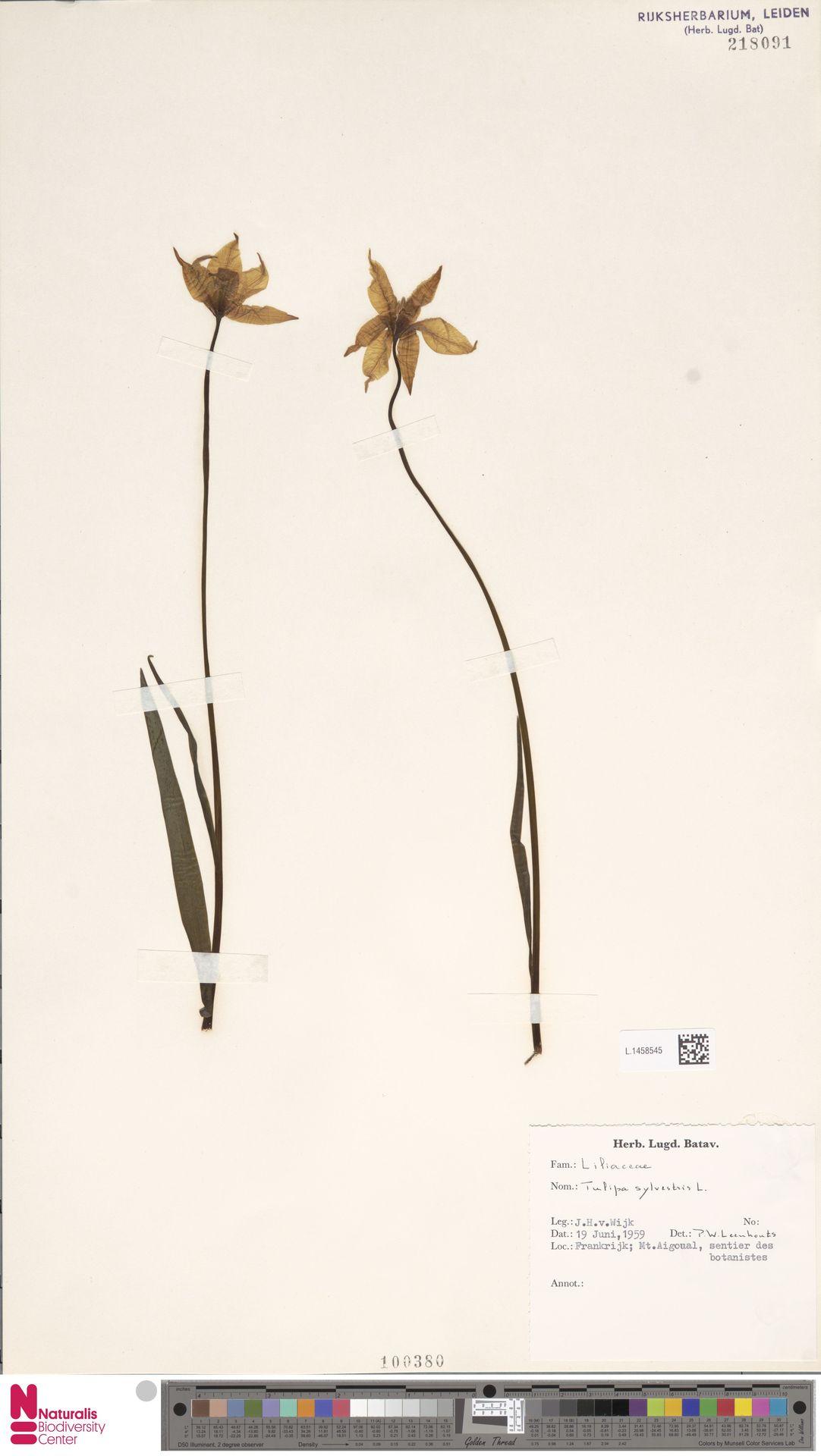 L.1458545 | Tulipa sylvestris L.