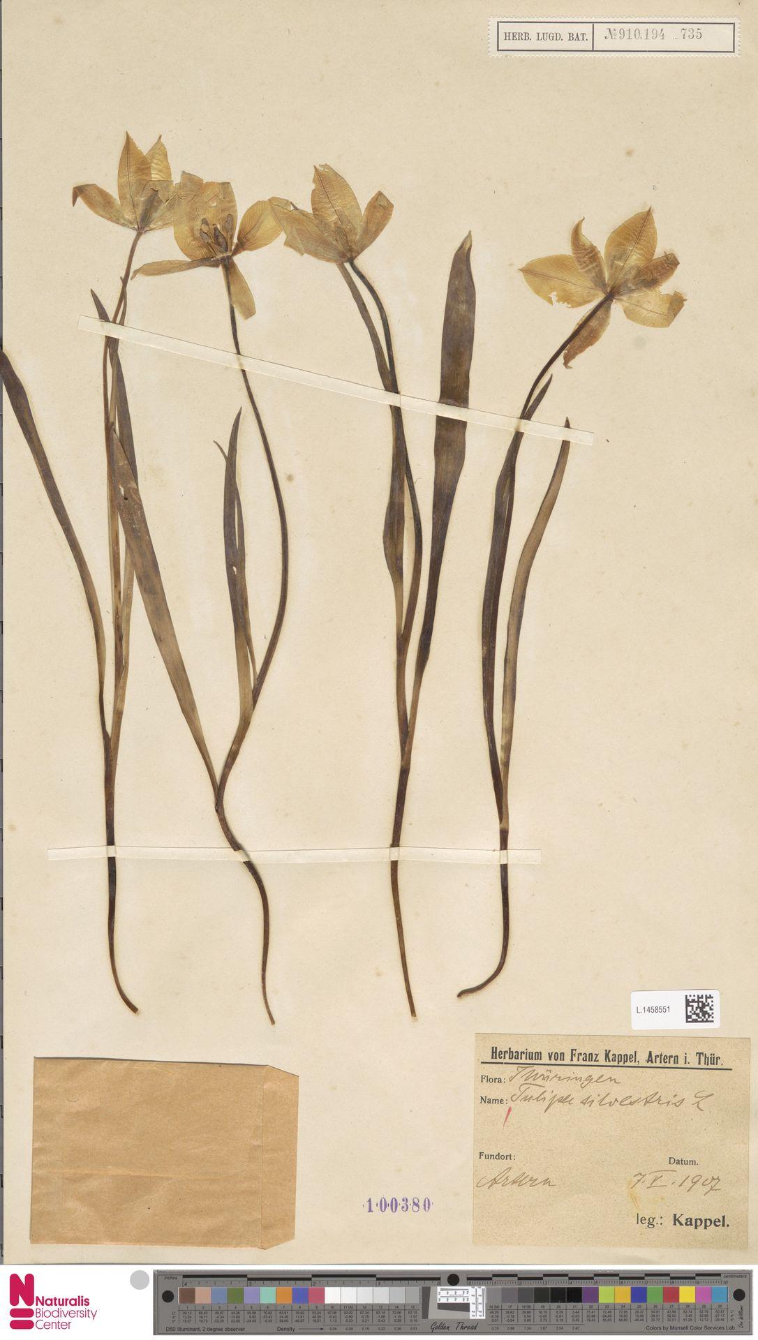 L.1458551 | Tulipa sylvestris L.