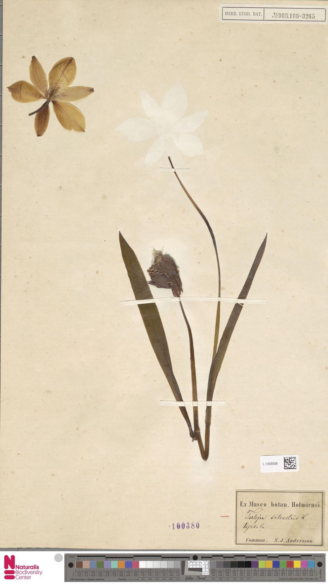 L.1458556 | Tulipa sylvestris L.