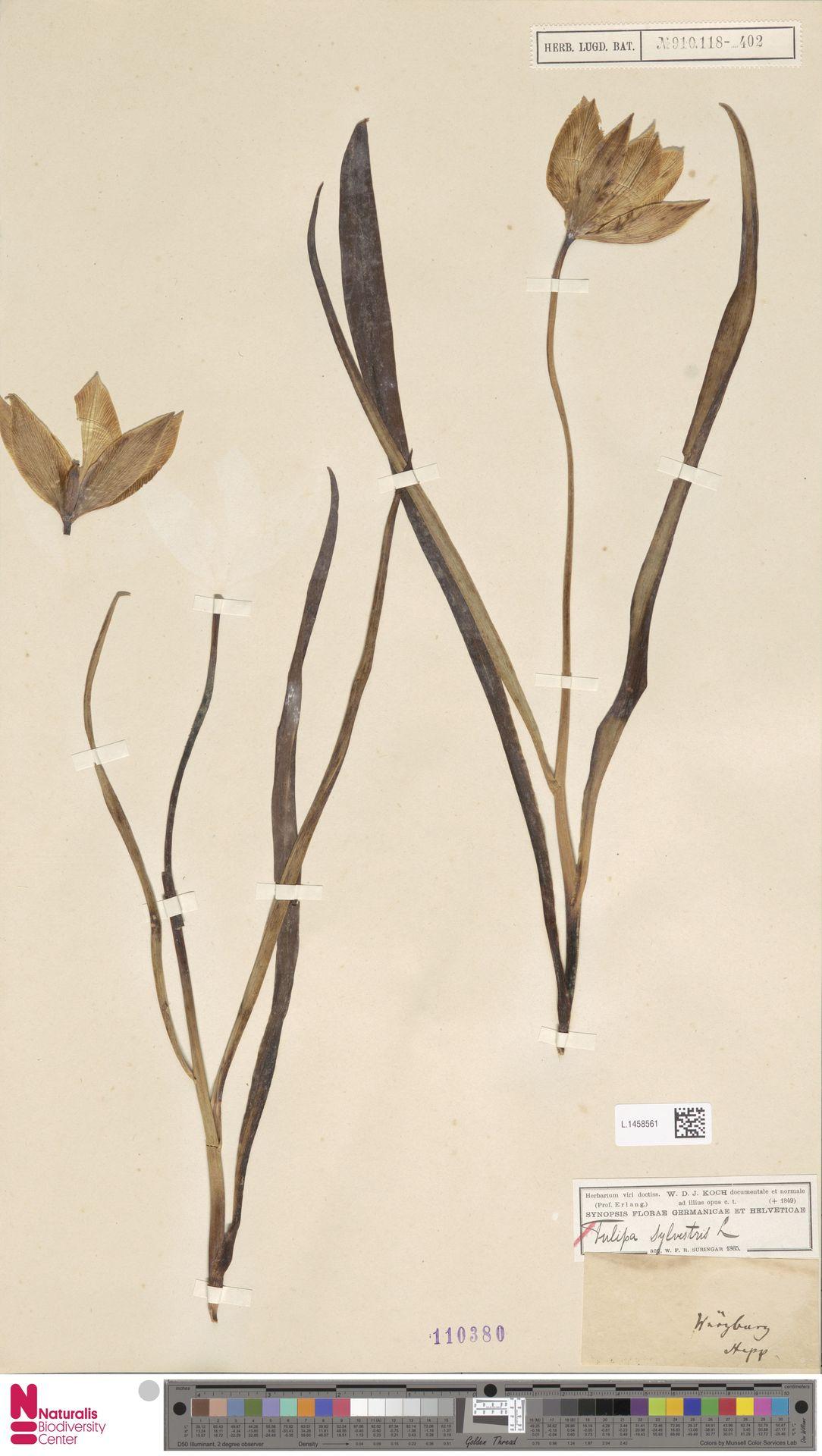L.1458561 | Tulipa sylvestris L.