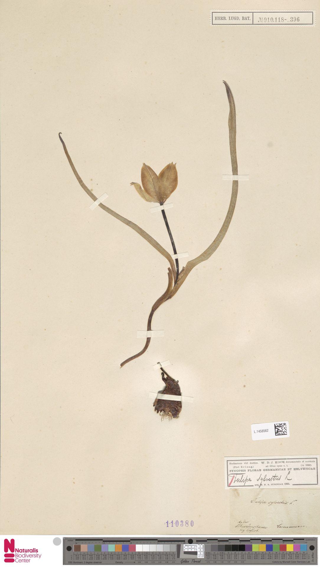 L.1458562 | Tulipa sylvestris L.