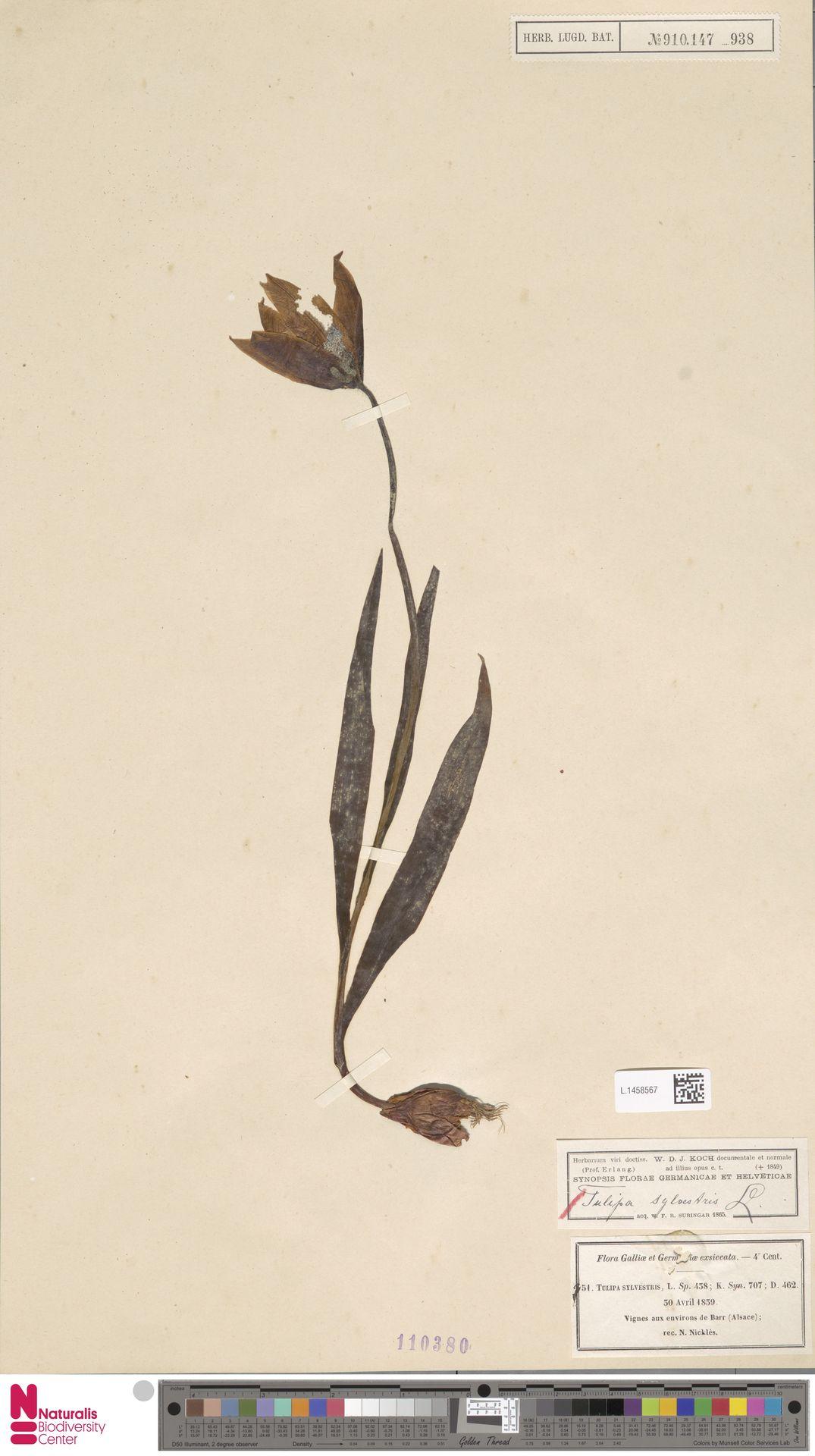 L.1458567 | Tulipa sylvestris L.
