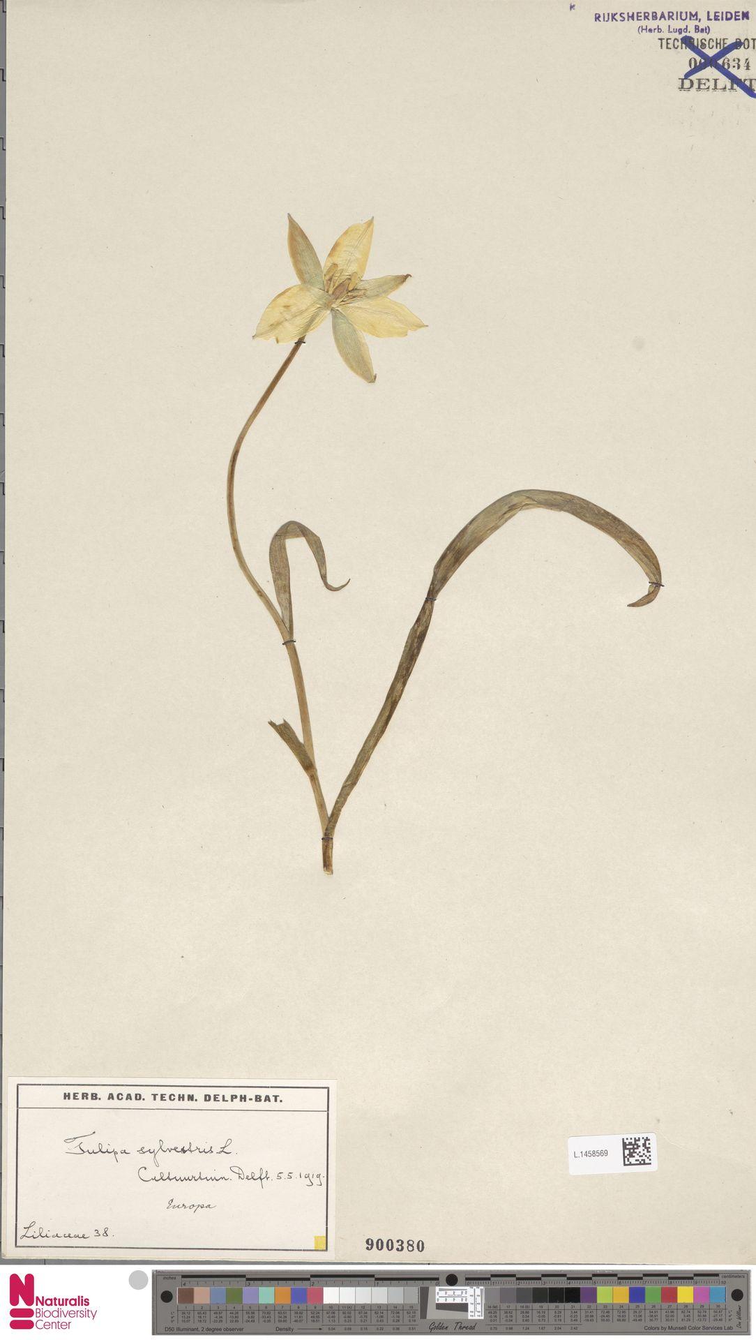 L.1458569 | Tulipa sylvestris L.