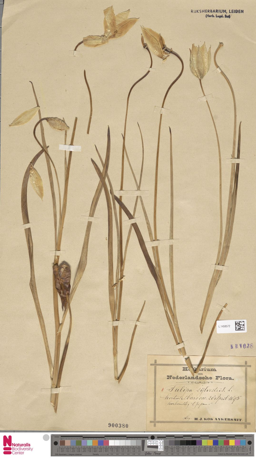 L.1458572 | Tulipa sylvestris L.