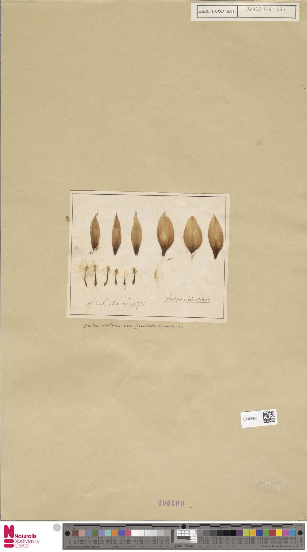 L.1458580 | Tulipa sylvestris L.