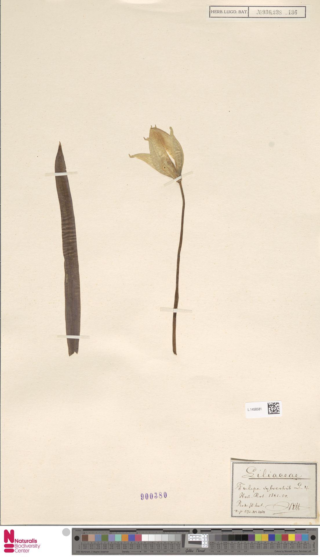 L.1458581 | Tulipa sylvestris L.