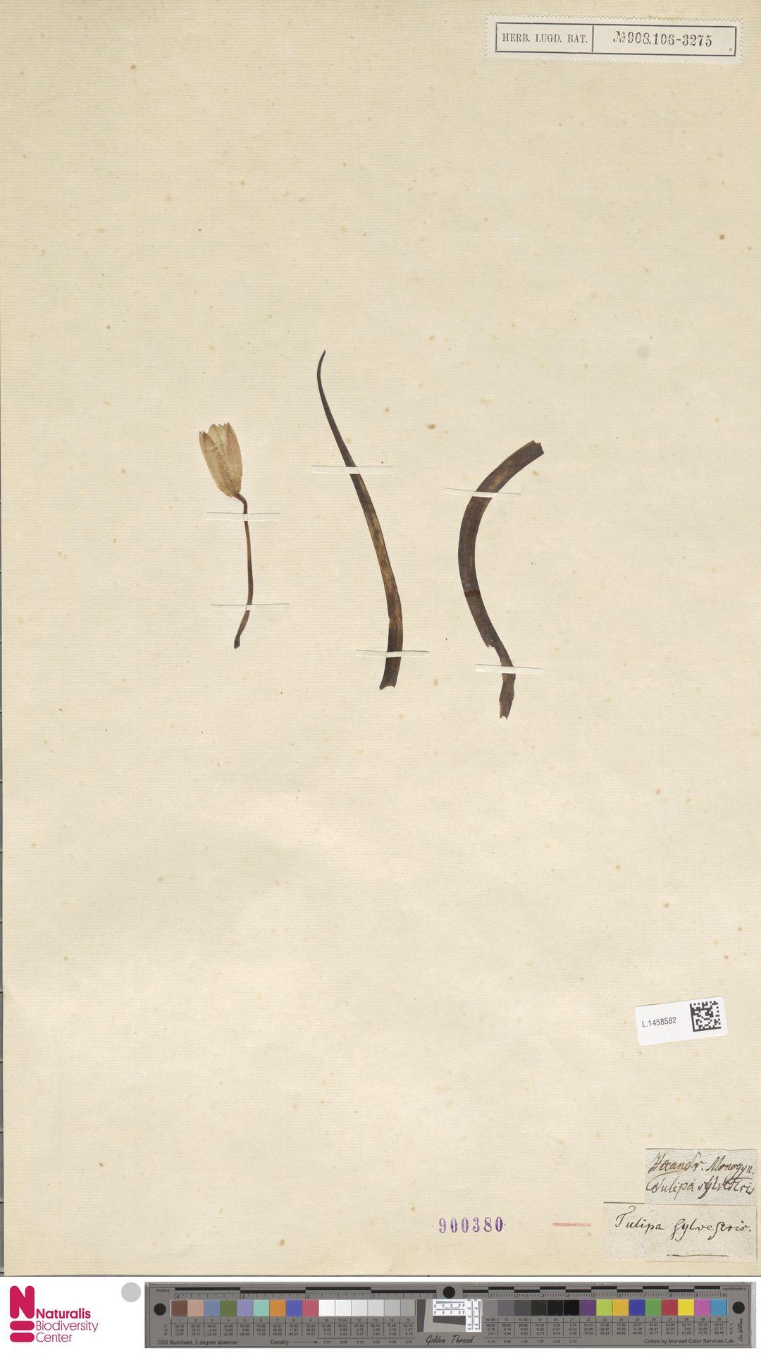 L.1458582 | Tulipa sylvestris L.