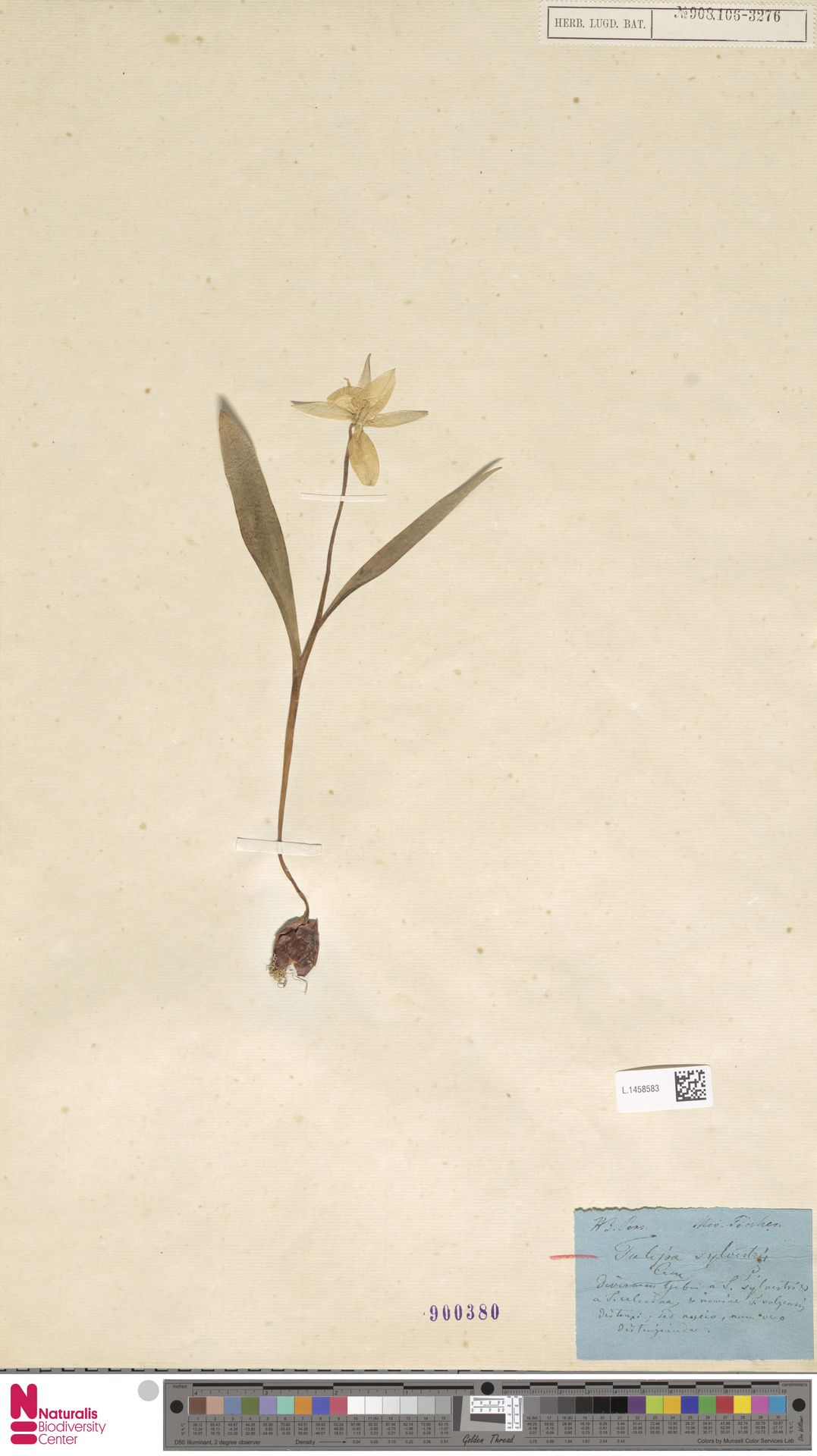 L.1458583 | Tulipa sylvestris L.