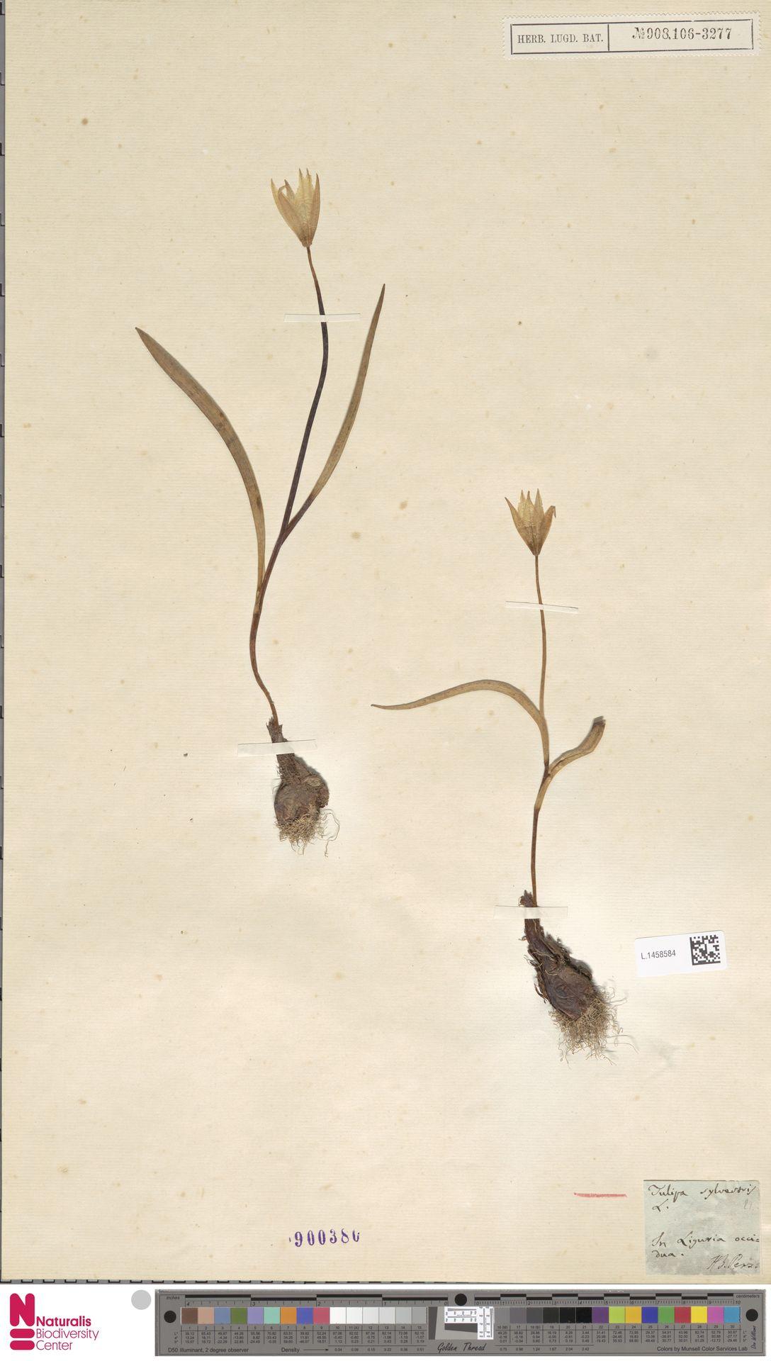 L.1458584 | Tulipa sylvestris L.
