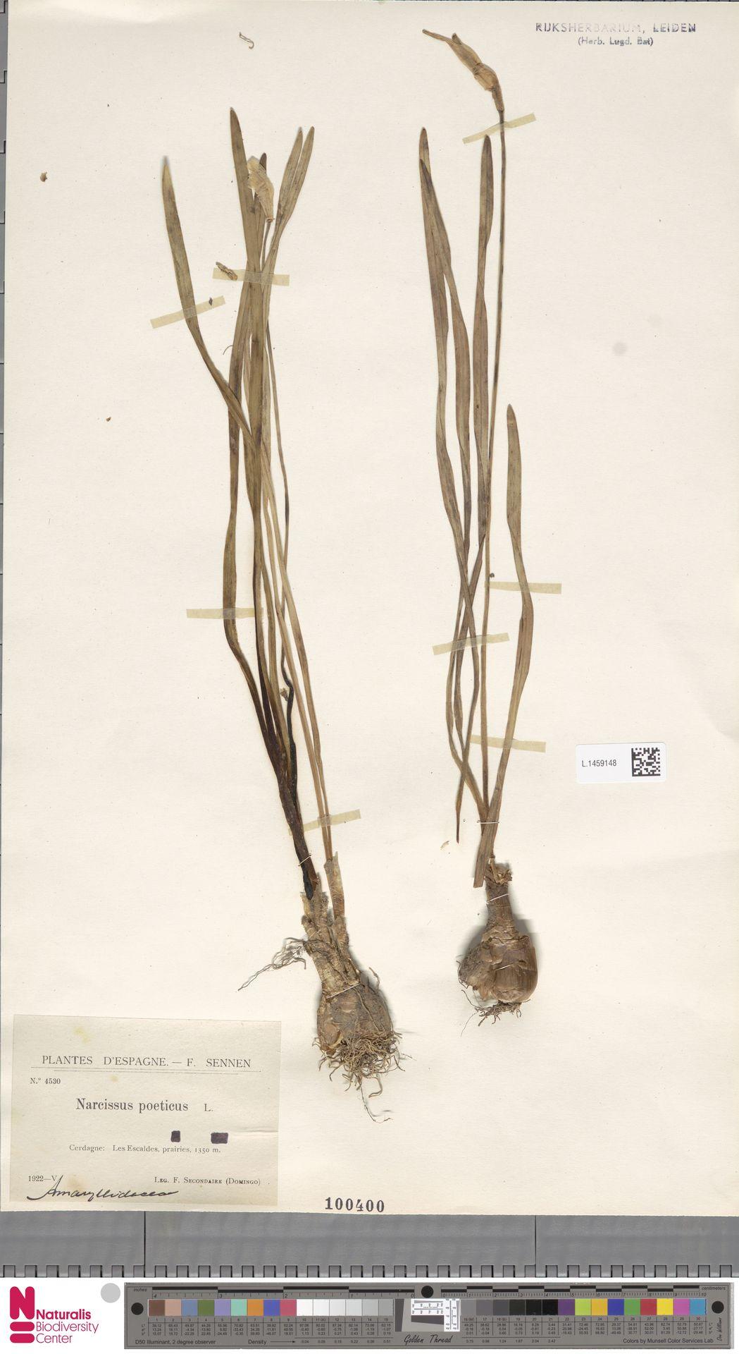 L.1459148   Narcissus poeticus L.