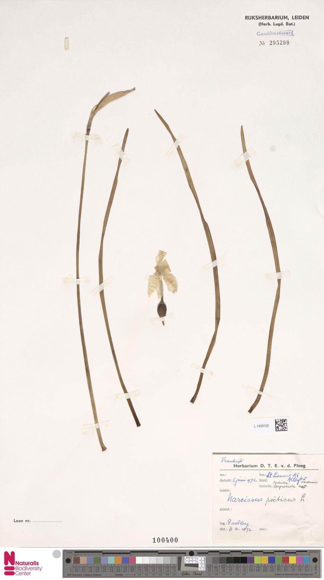 L.1459152 | Narcissus poeticus L.