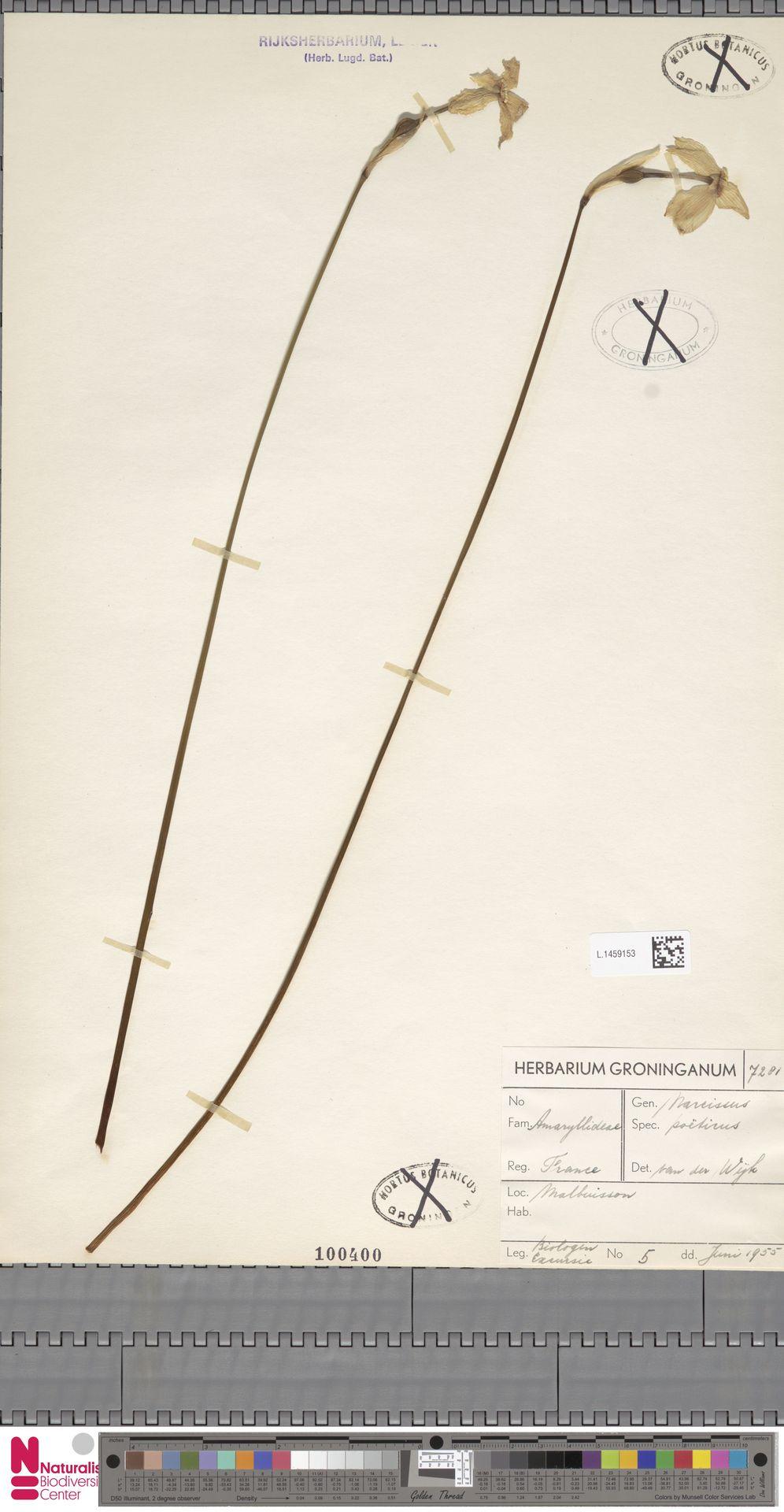 L.1459153   Narcissus poeticus L.
