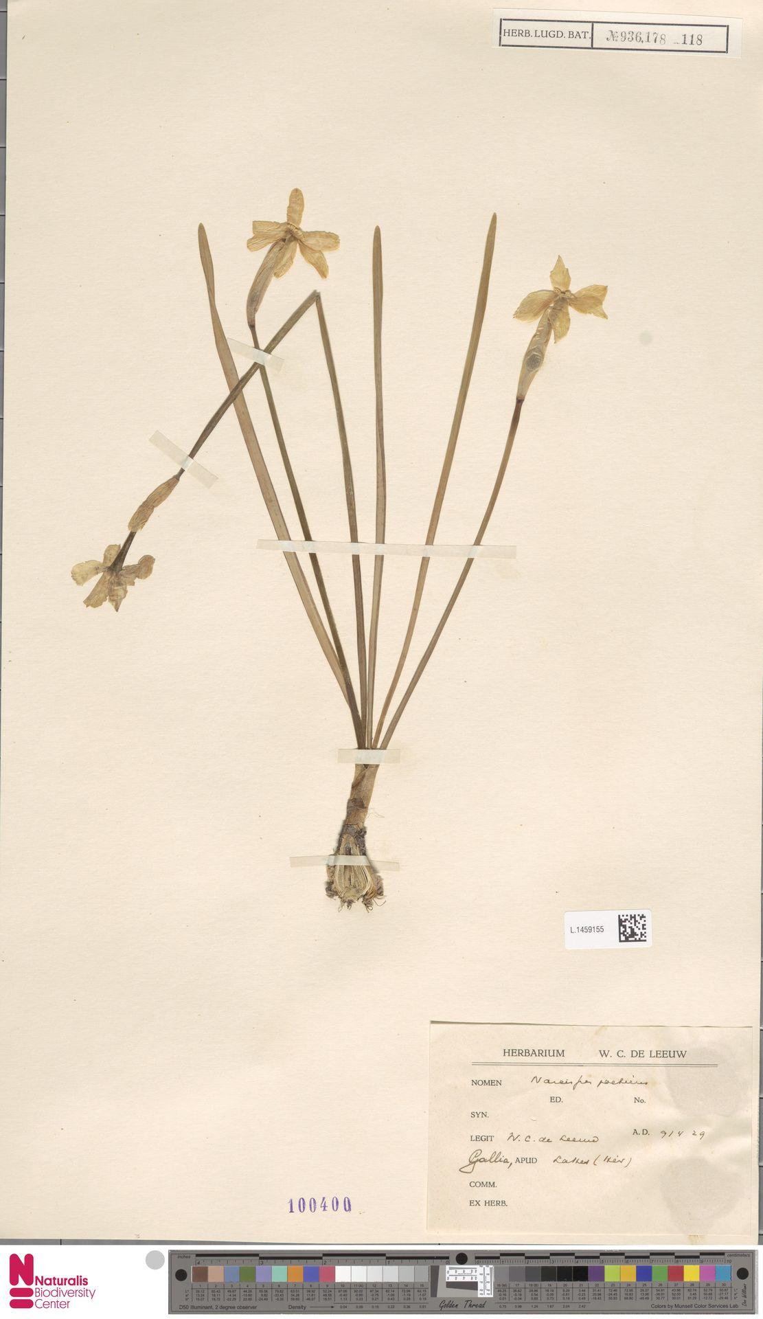 L.1459155 | Narcissus poeticus L.