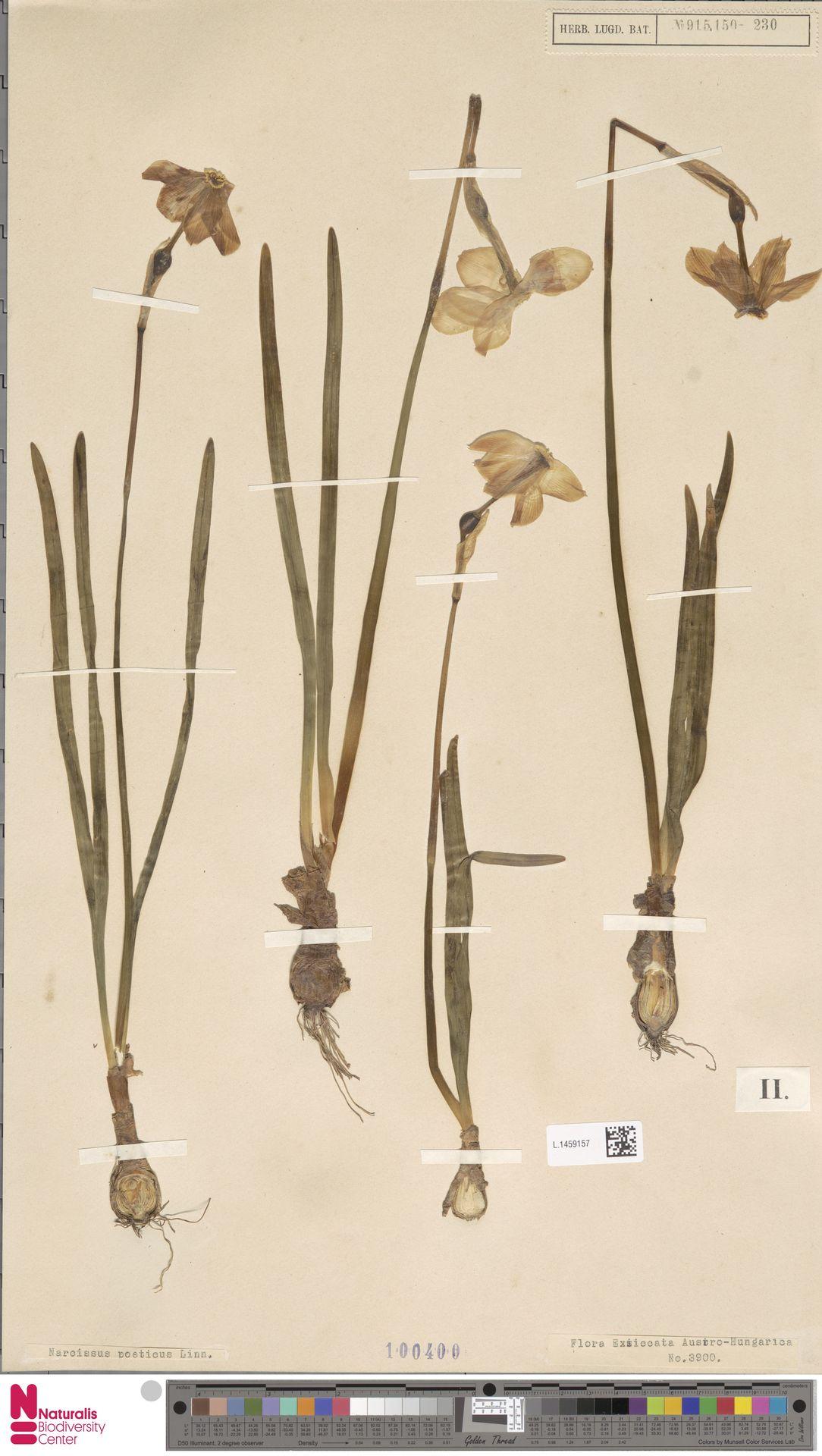 L.1459157 | Narcissus poeticus L.