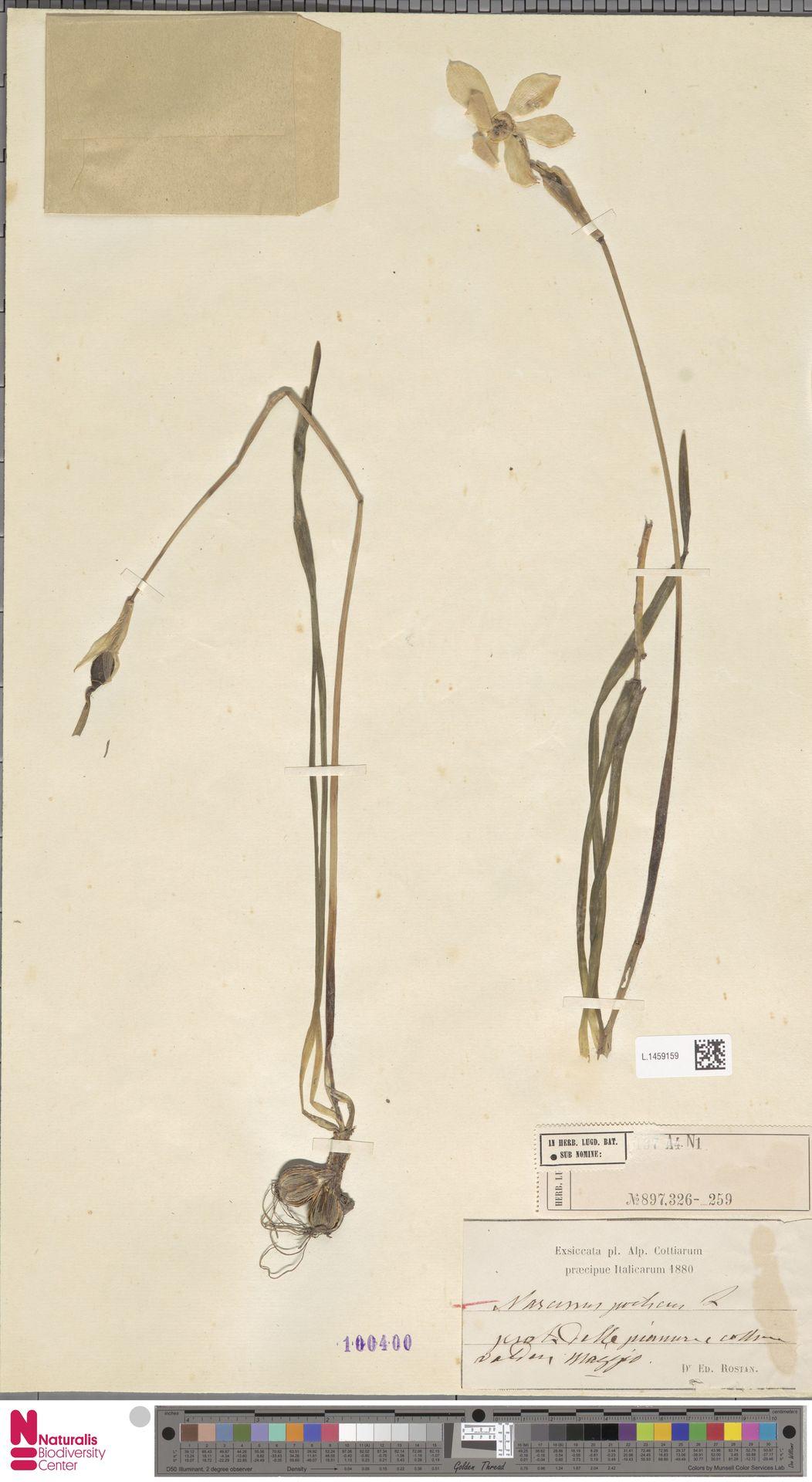 L.1459159 | Narcissus poeticus L.