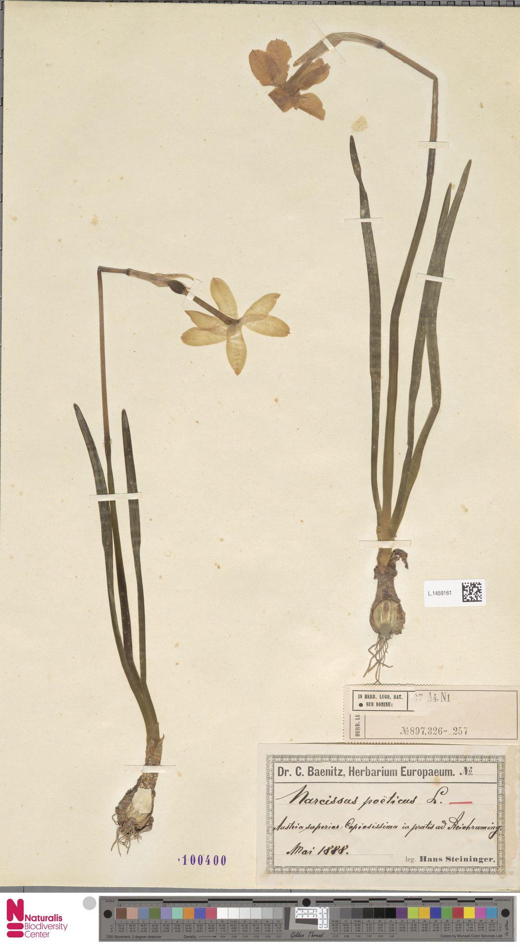 L.1459161 | Narcissus poeticus L.