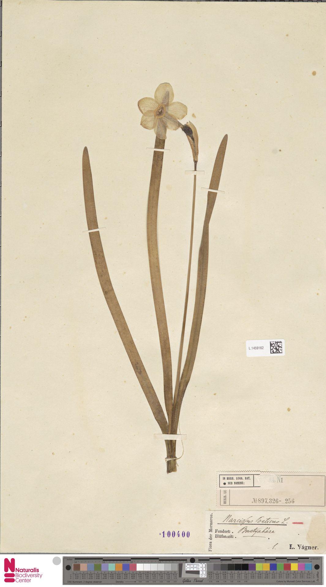 L.1459162 | Narcissus poeticus L.