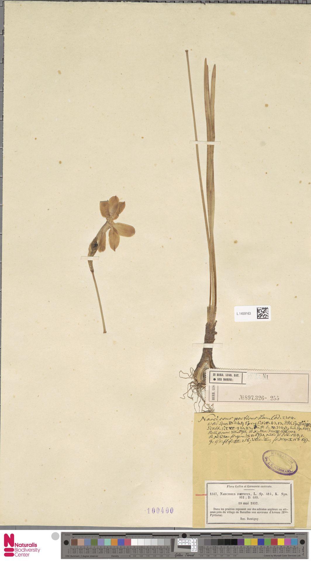 L.1459163 | Narcissus poeticus L.