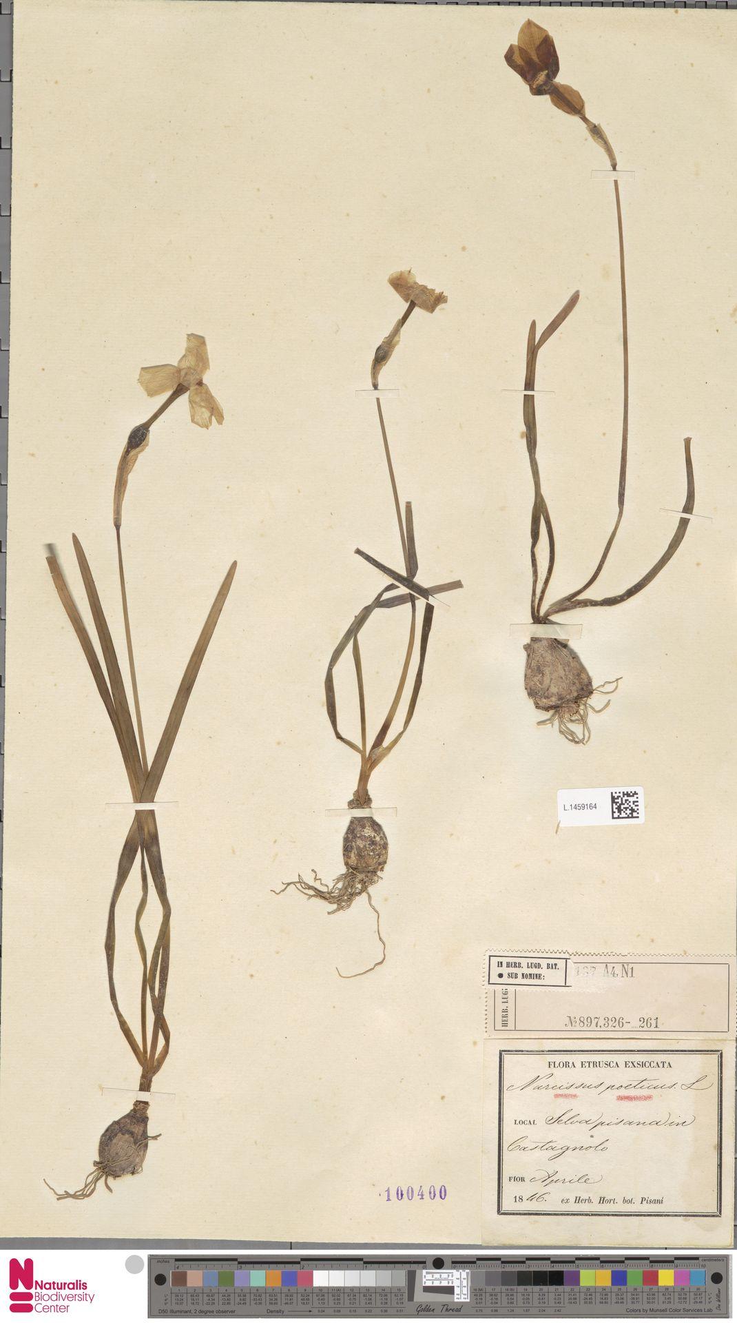 L.1459164   Narcissus poeticus L.