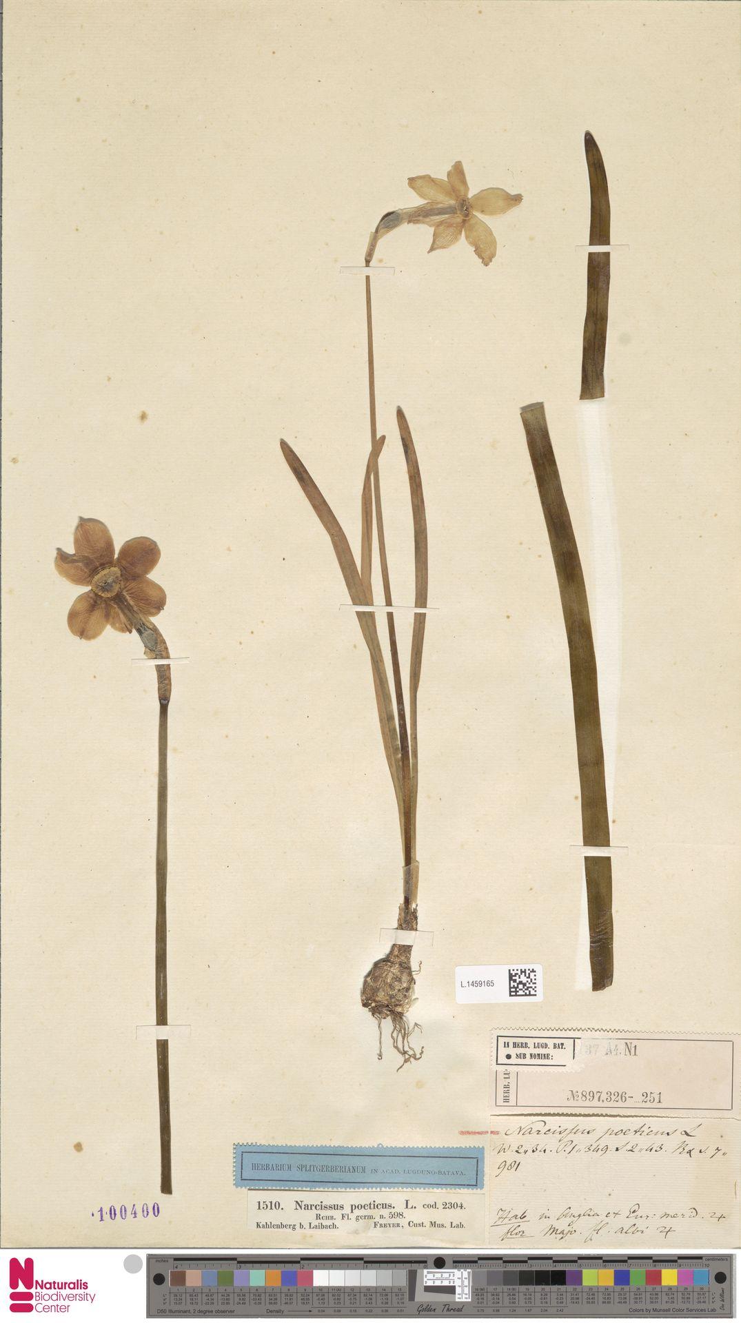 L.1459165 | Narcissus poeticus L.