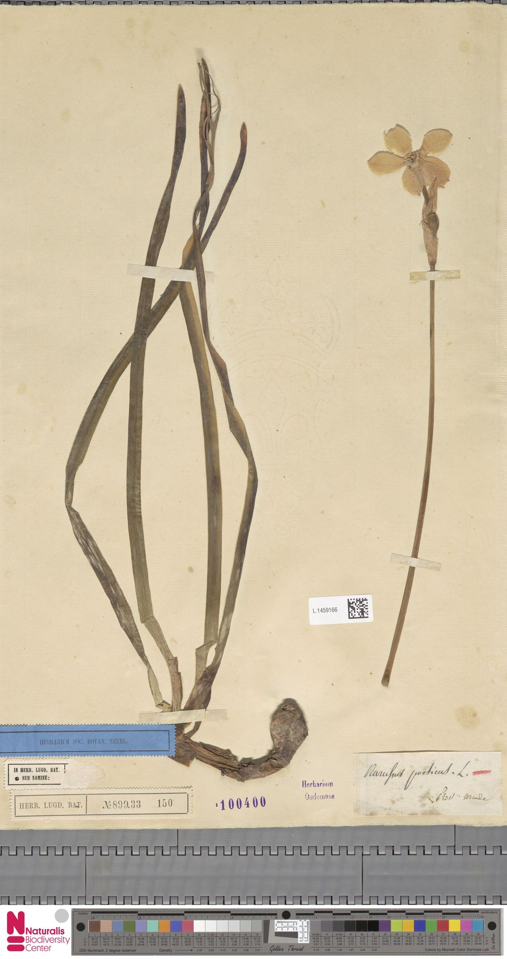 L.1459166 | Narcissus poeticus L.