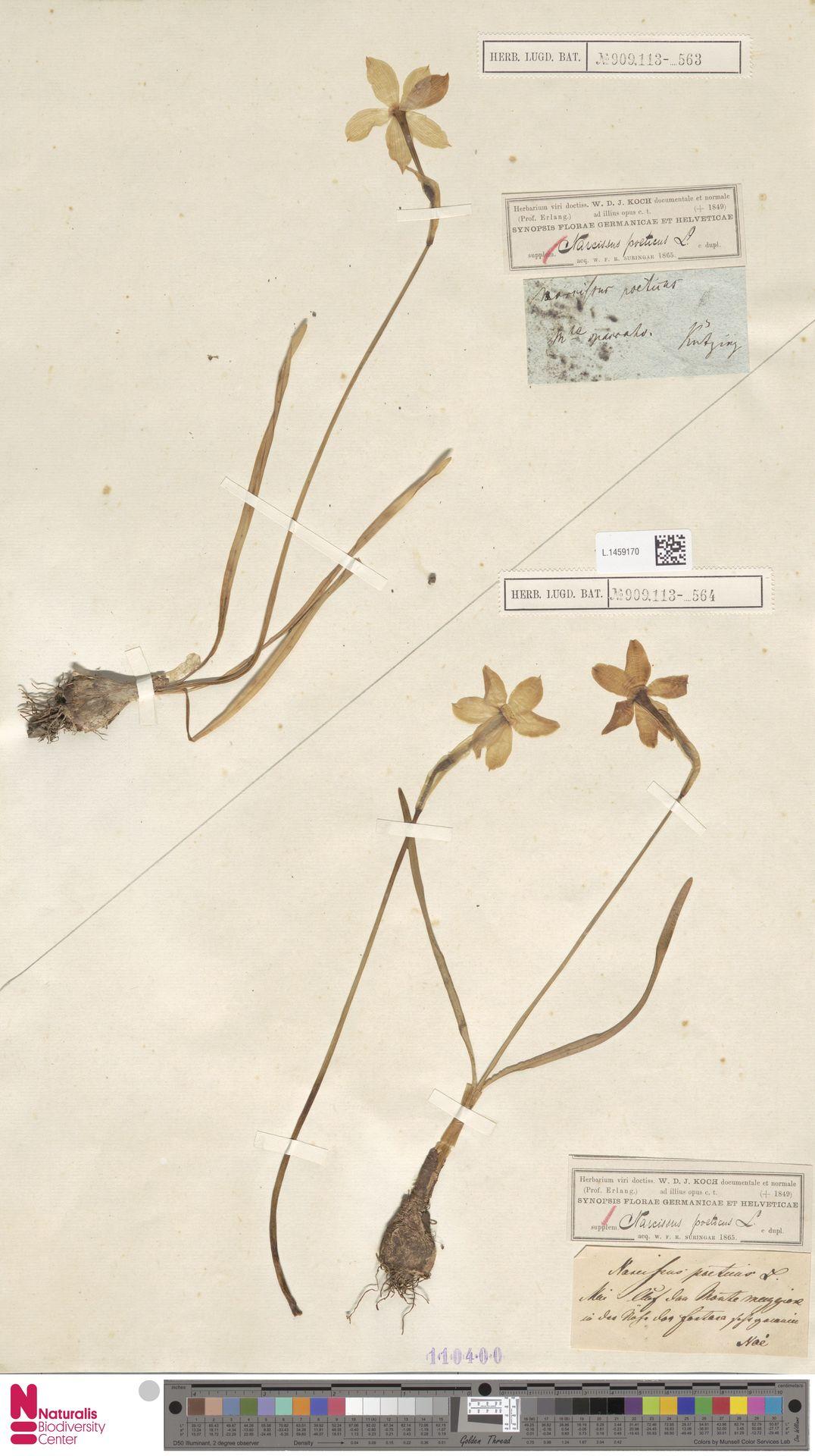 L.1459170 | Narcissus poeticus L.