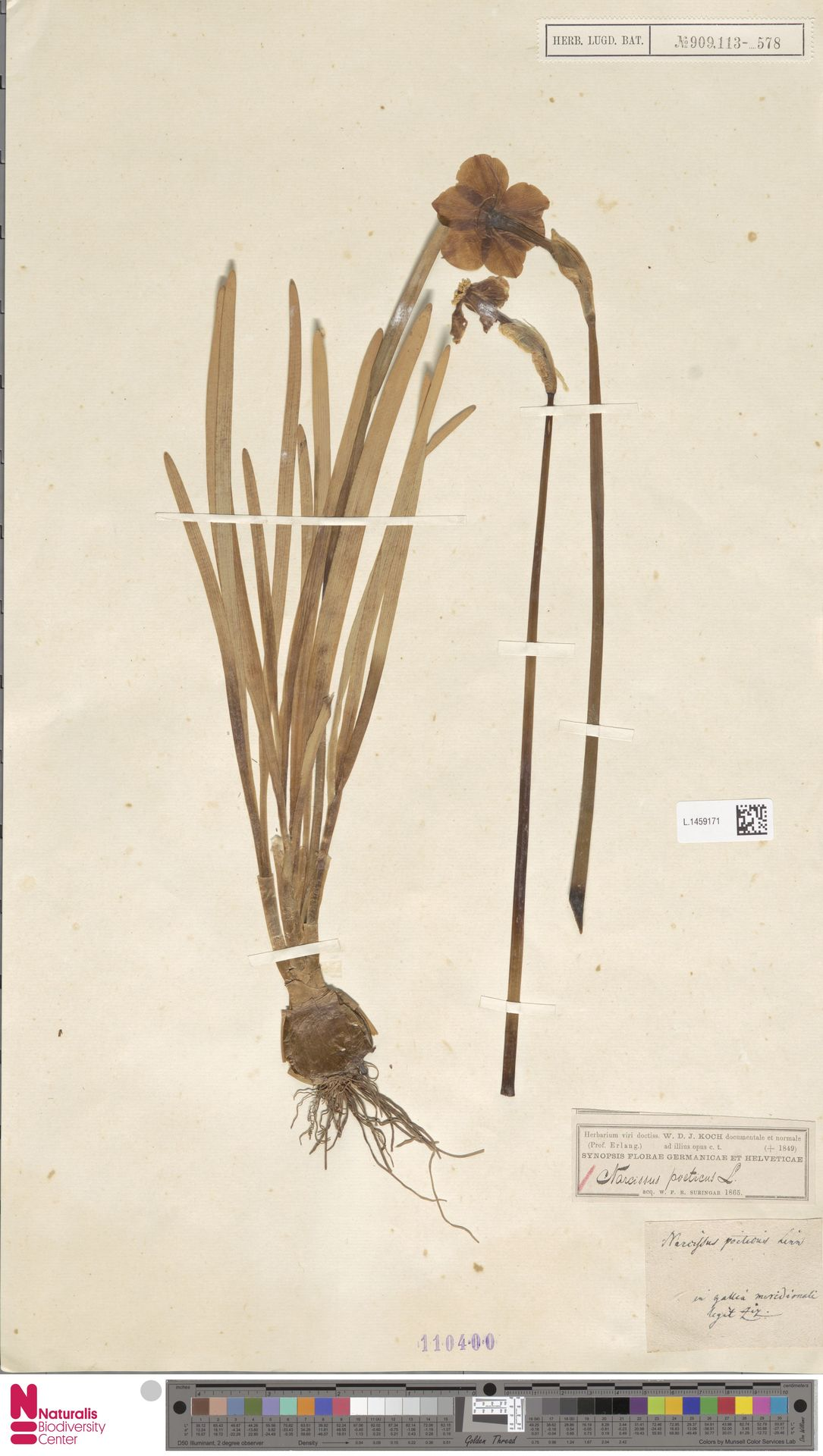 L.1459171   Narcissus poeticus L.