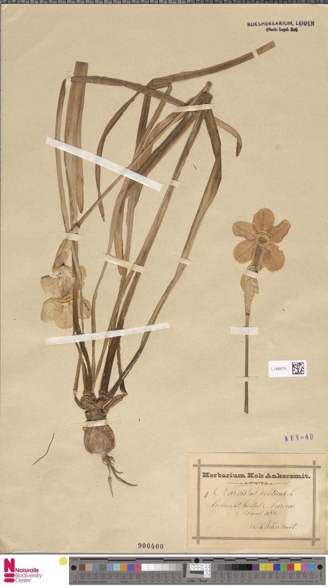 L.1459174 | Narcissus poeticus L.