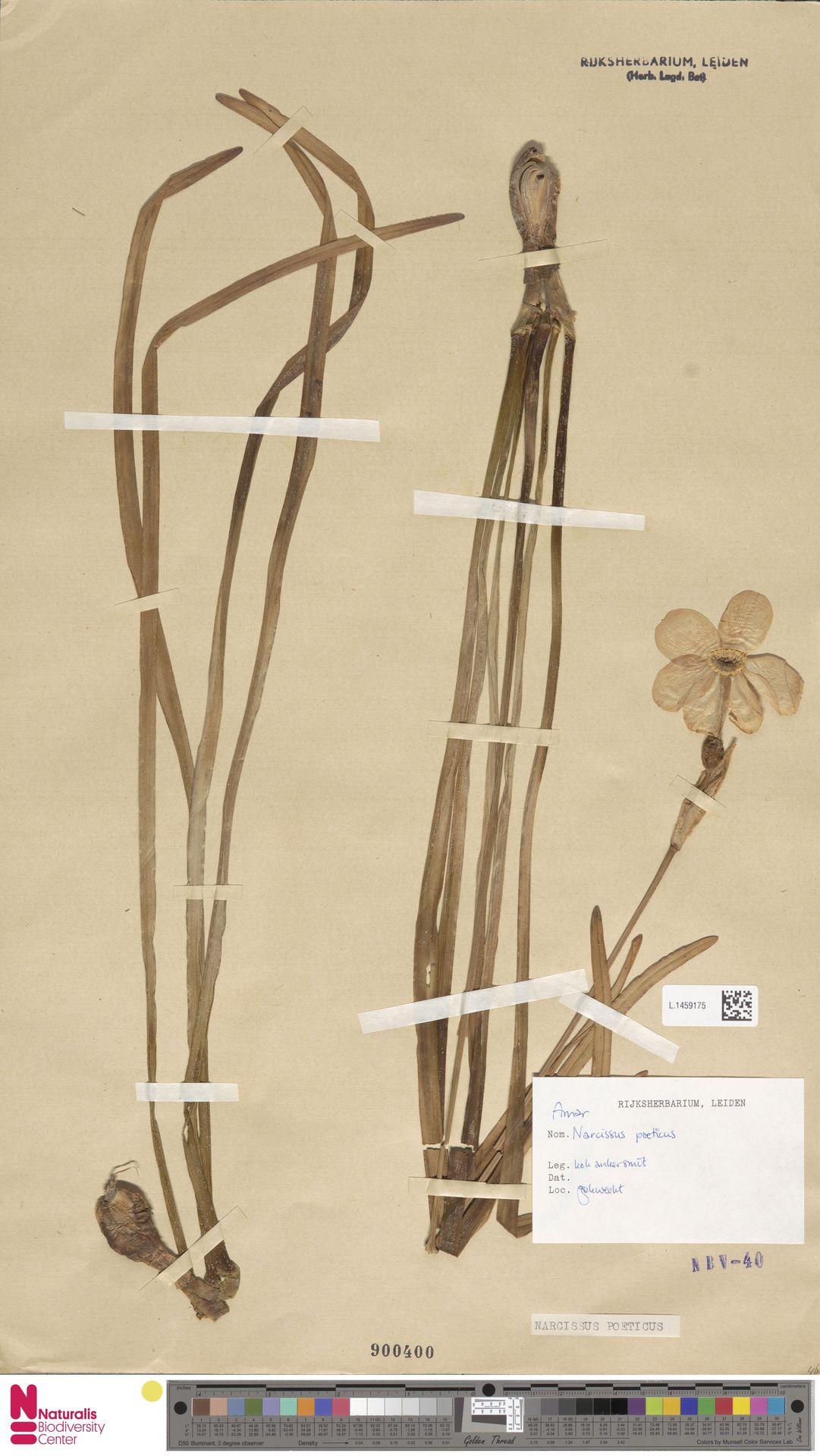 L.1459175 | Narcissus poeticus L.