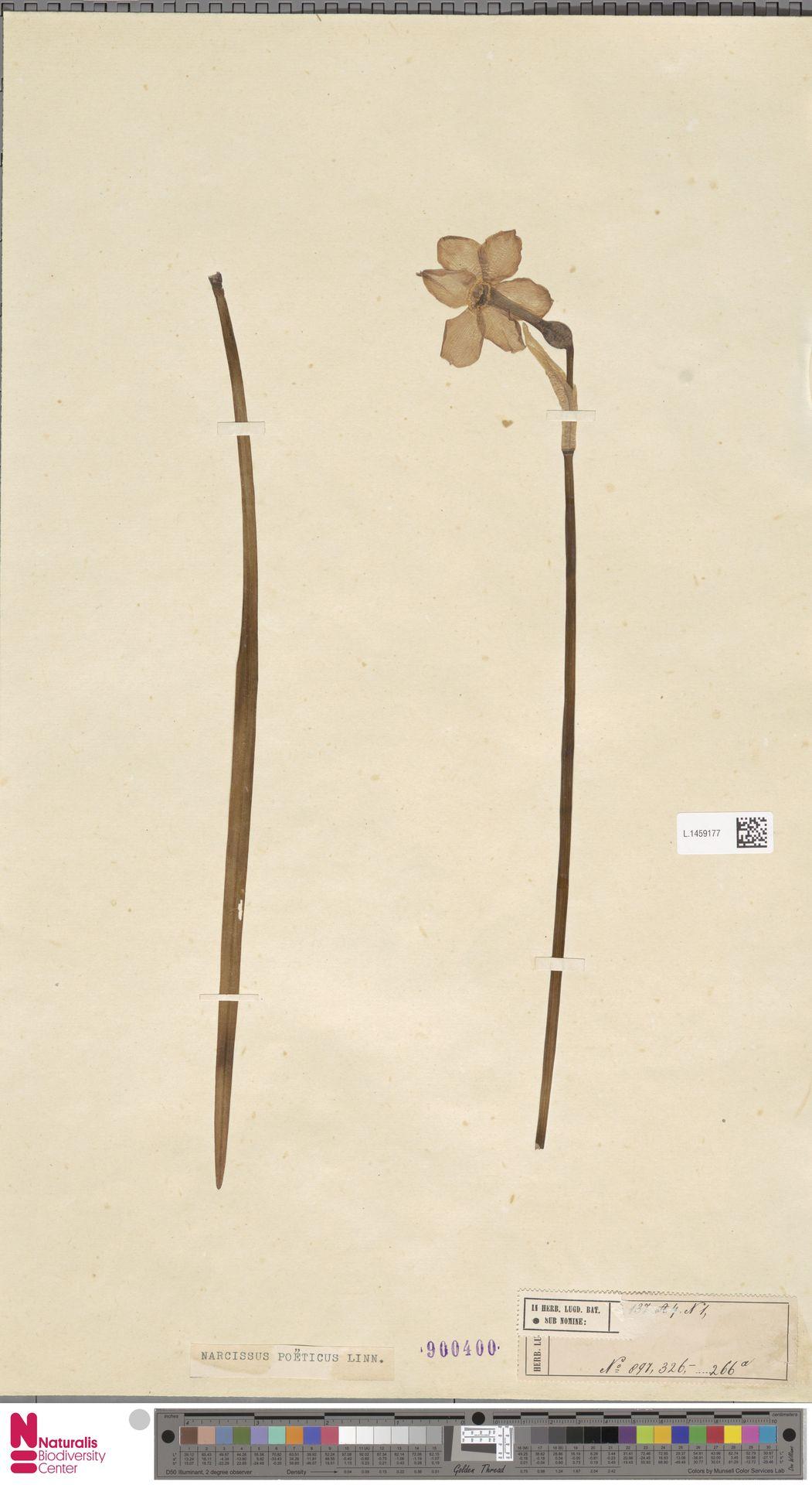 L.1459177 | Narcissus poeticus L.