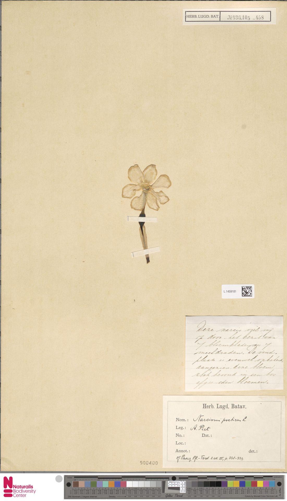 L.1459181 | Narcissus poeticus L.