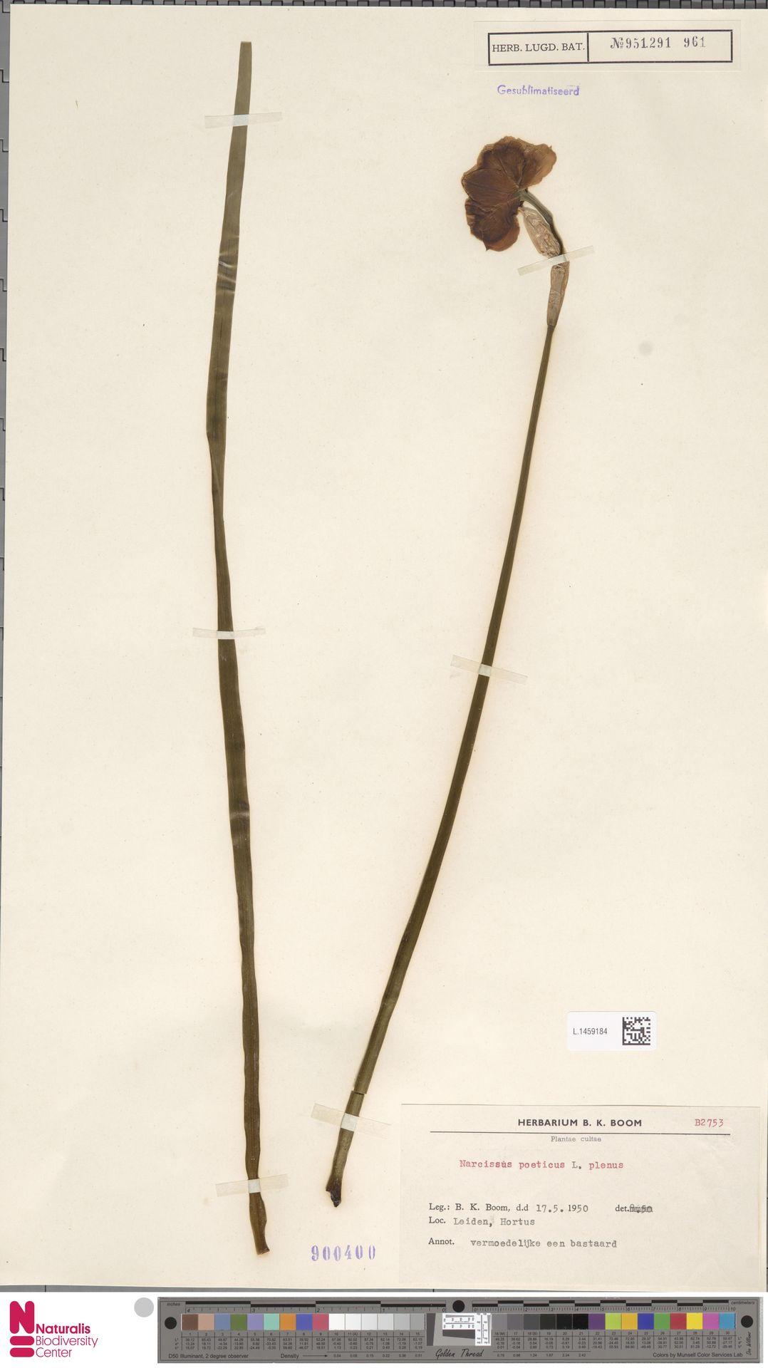 L.1459184 | Narcissus poeticus L.