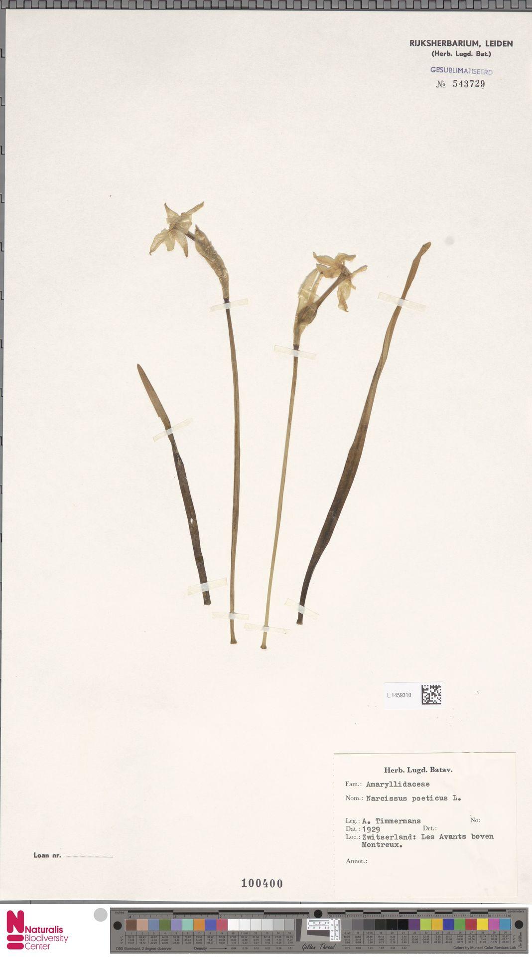 L.1459310 | Narcissus poeticus L.