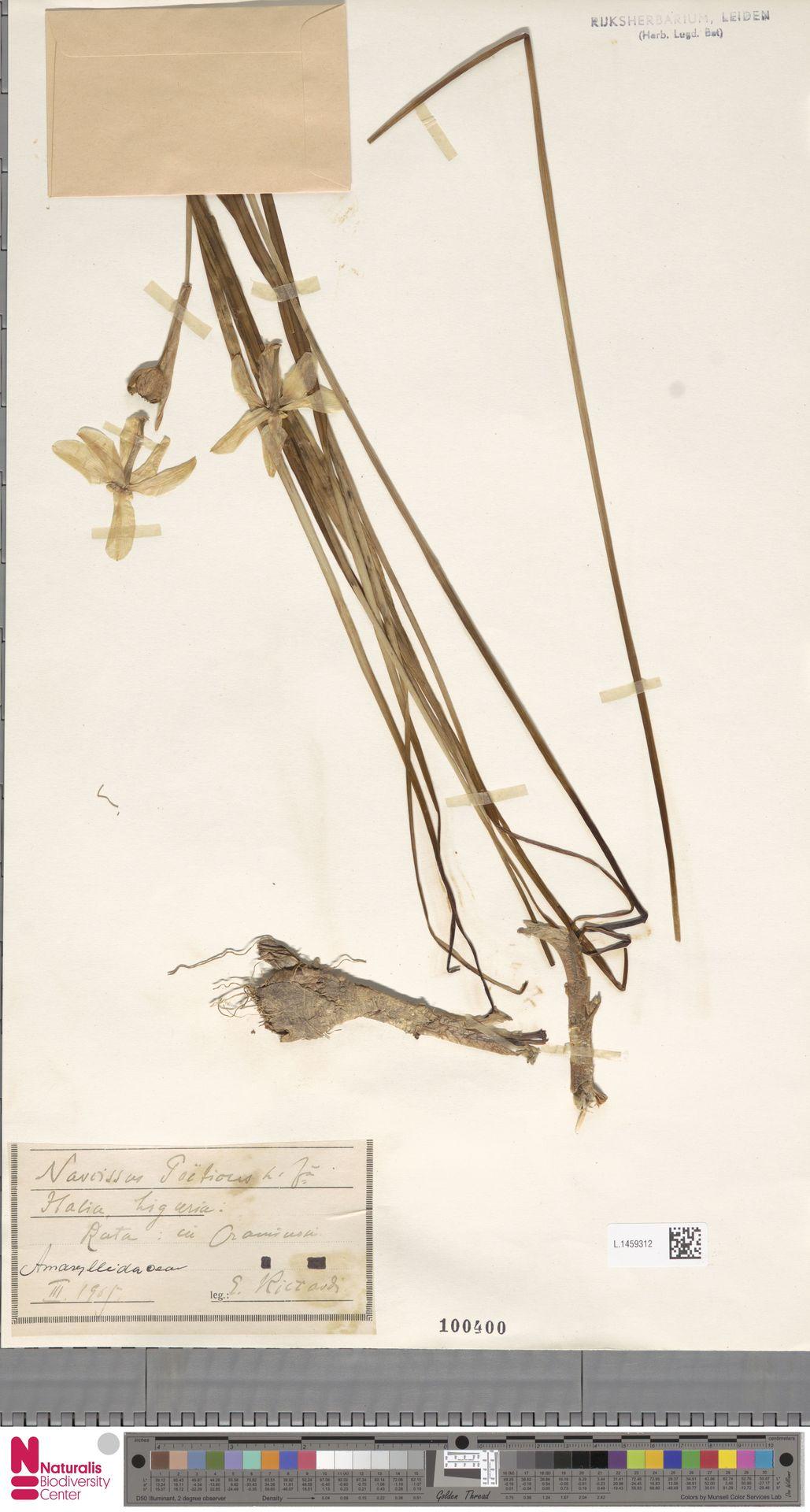 L.1459312 | Narcissus poeticus L.