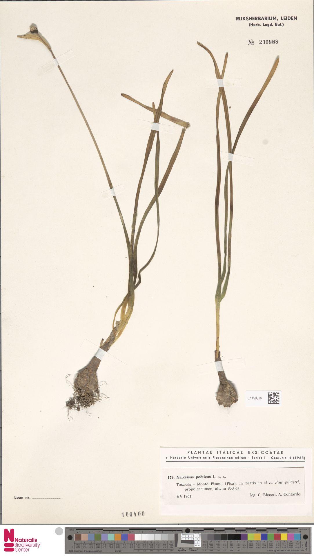 L.1459316 | Narcissus poeticus L.