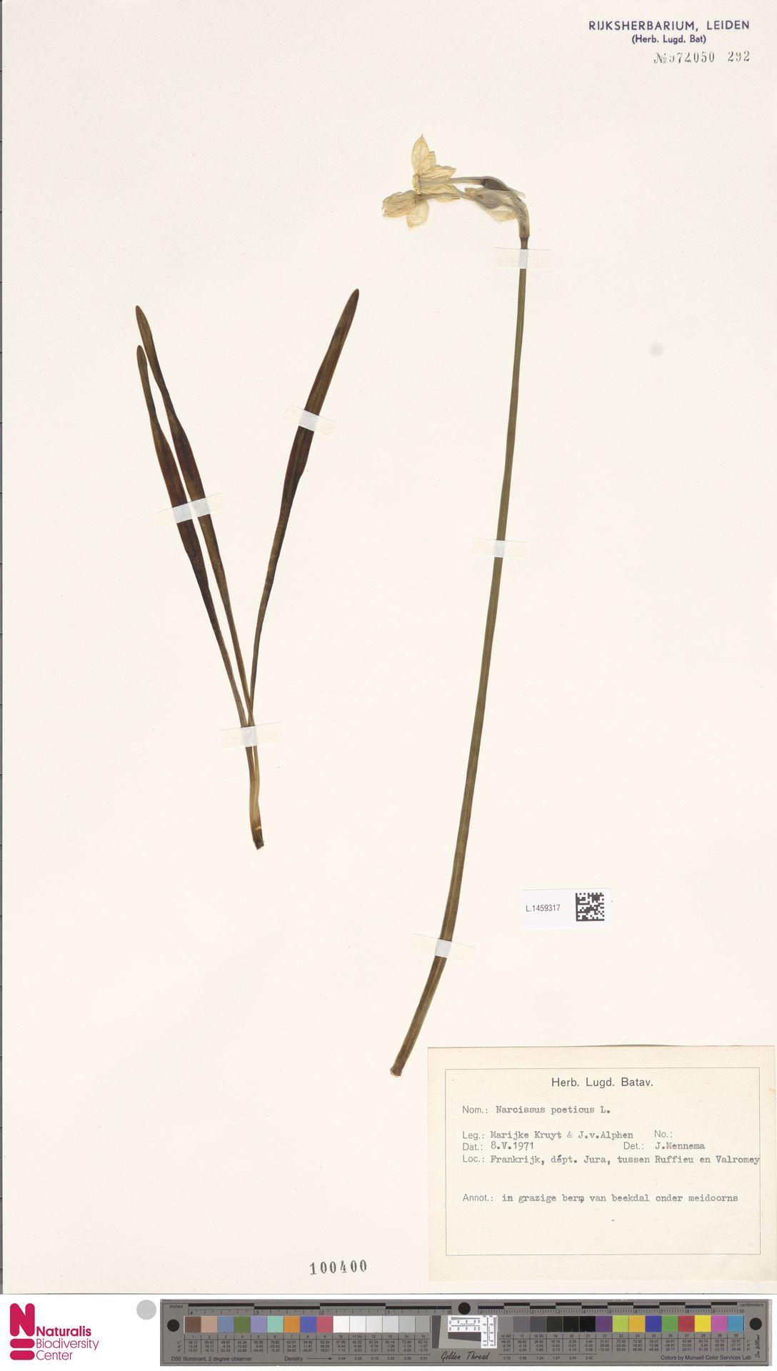 L.1459317 | Narcissus poeticus L.