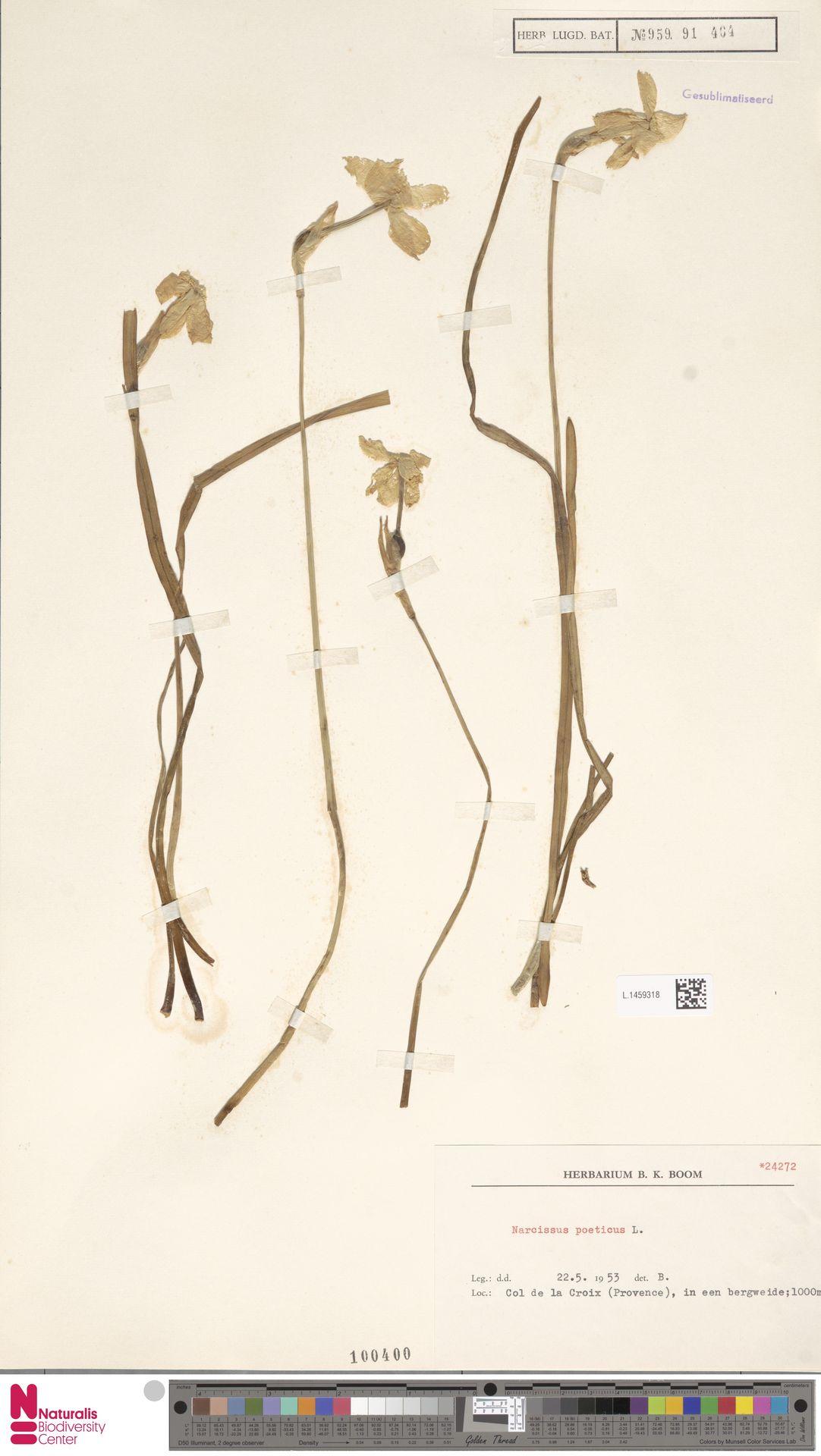 L.1459318   Narcissus poeticus L.