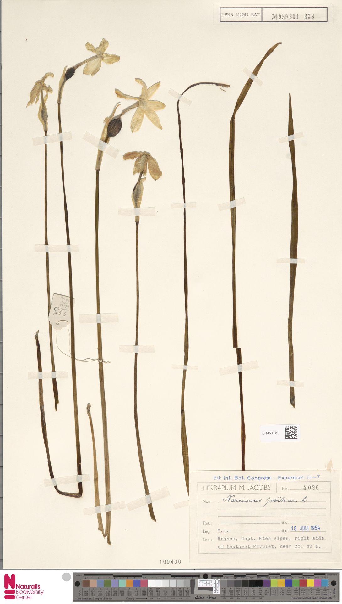 L.1459319   Narcissus poeticus L.