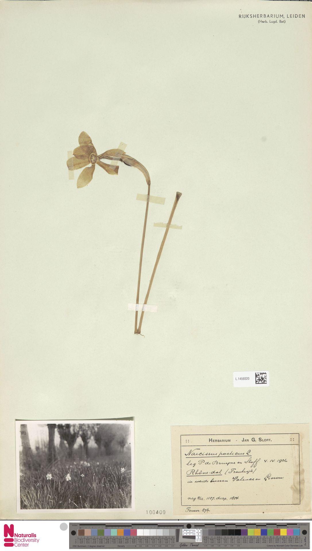 L.1459320   Narcissus poeticus L.