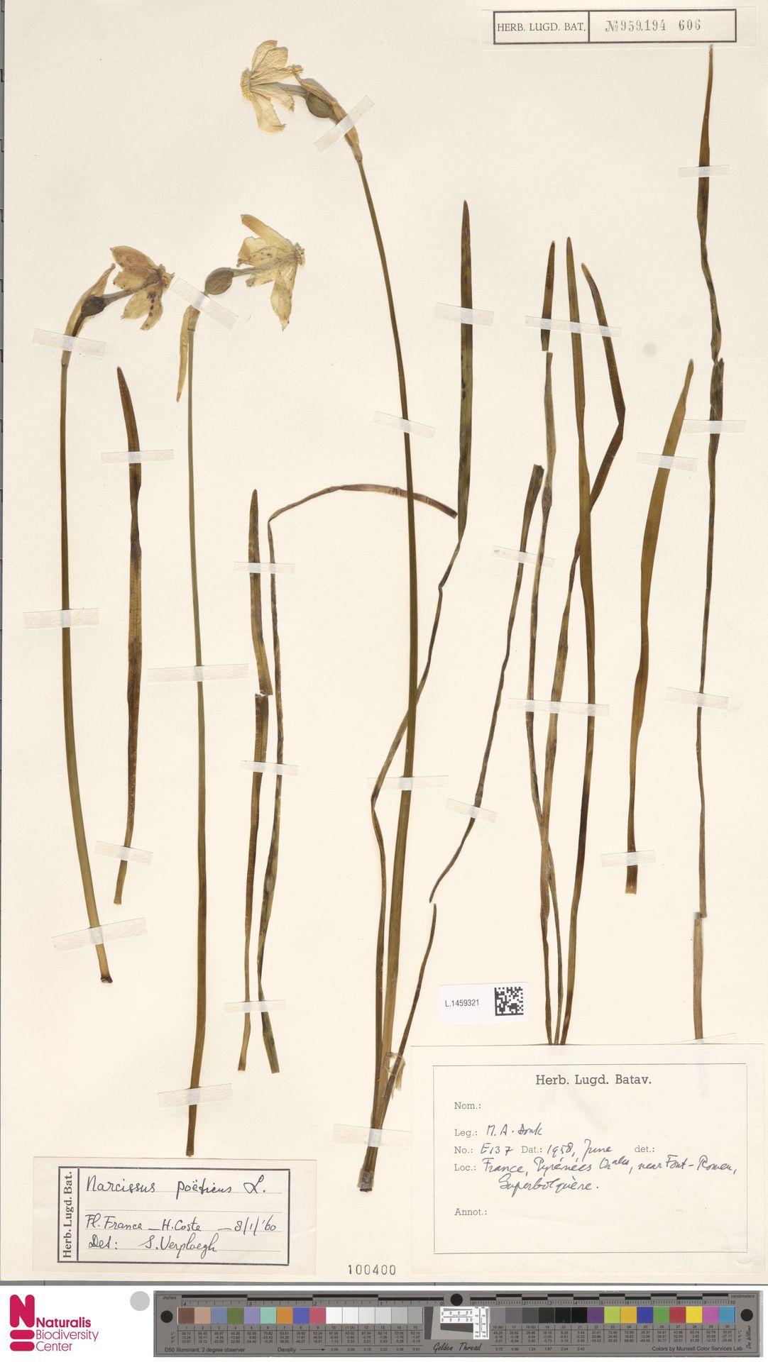 L.1459321 | Narcissus poeticus L.