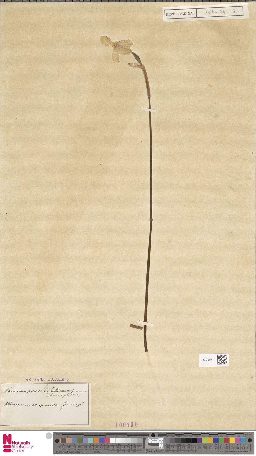 L.1459324 | Narcissus poeticus L.