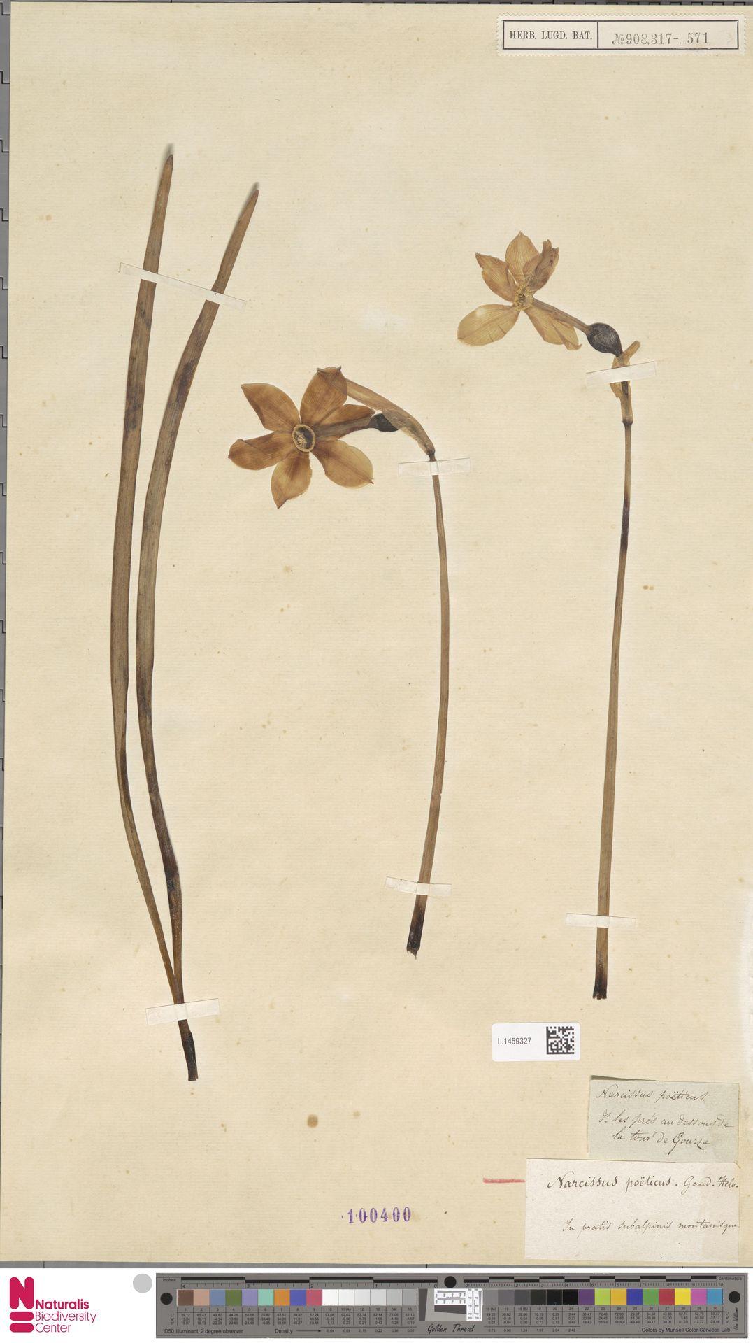 L.1459327 | Narcissus poeticus L.